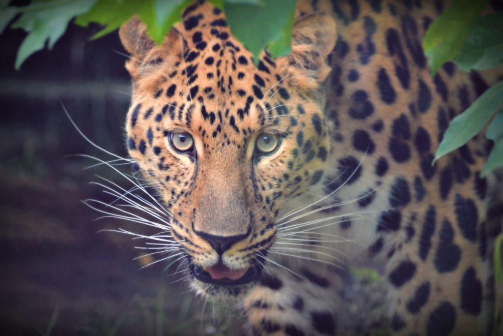 leopardo, felino, salvaje, mirada, pelaje, motas, 1701151817