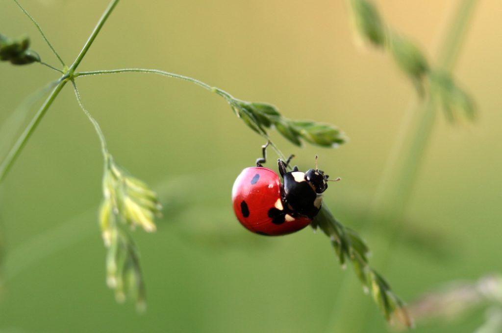 mariquita, bicho, insecto, hierba, planta, 1701201320