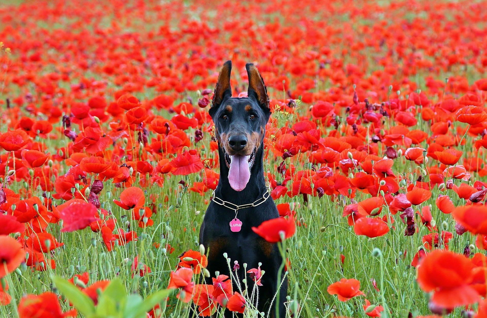 perro, doberman, campo, flores, amapolas - Fondos de Pantalla HD - professor-falken.com