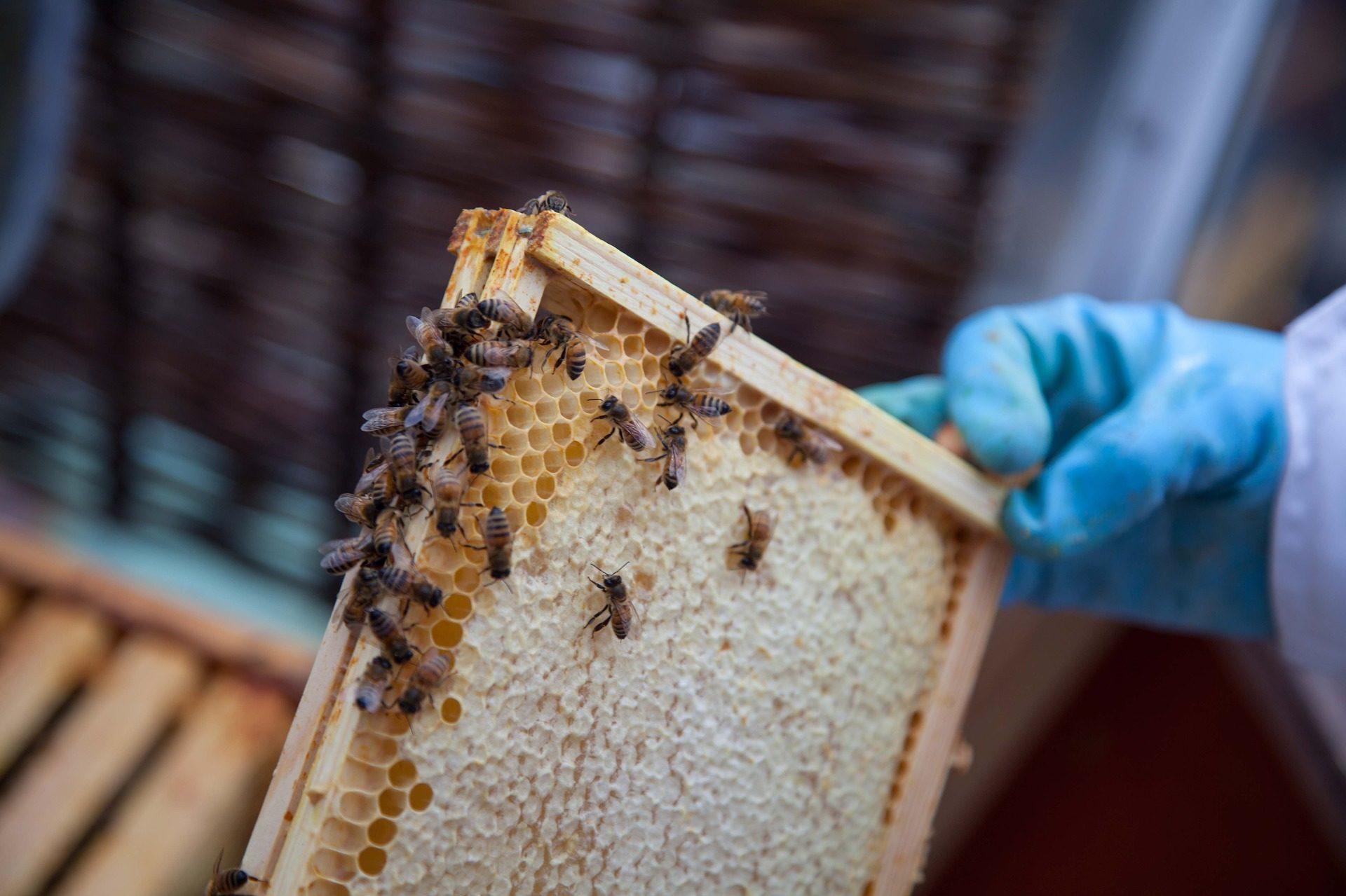 μέλισσες, πάνα, Κυψέλη, μέλι, συλλέκτης, μελισσοκομία - Wallpapers HD - Professor-falken.com