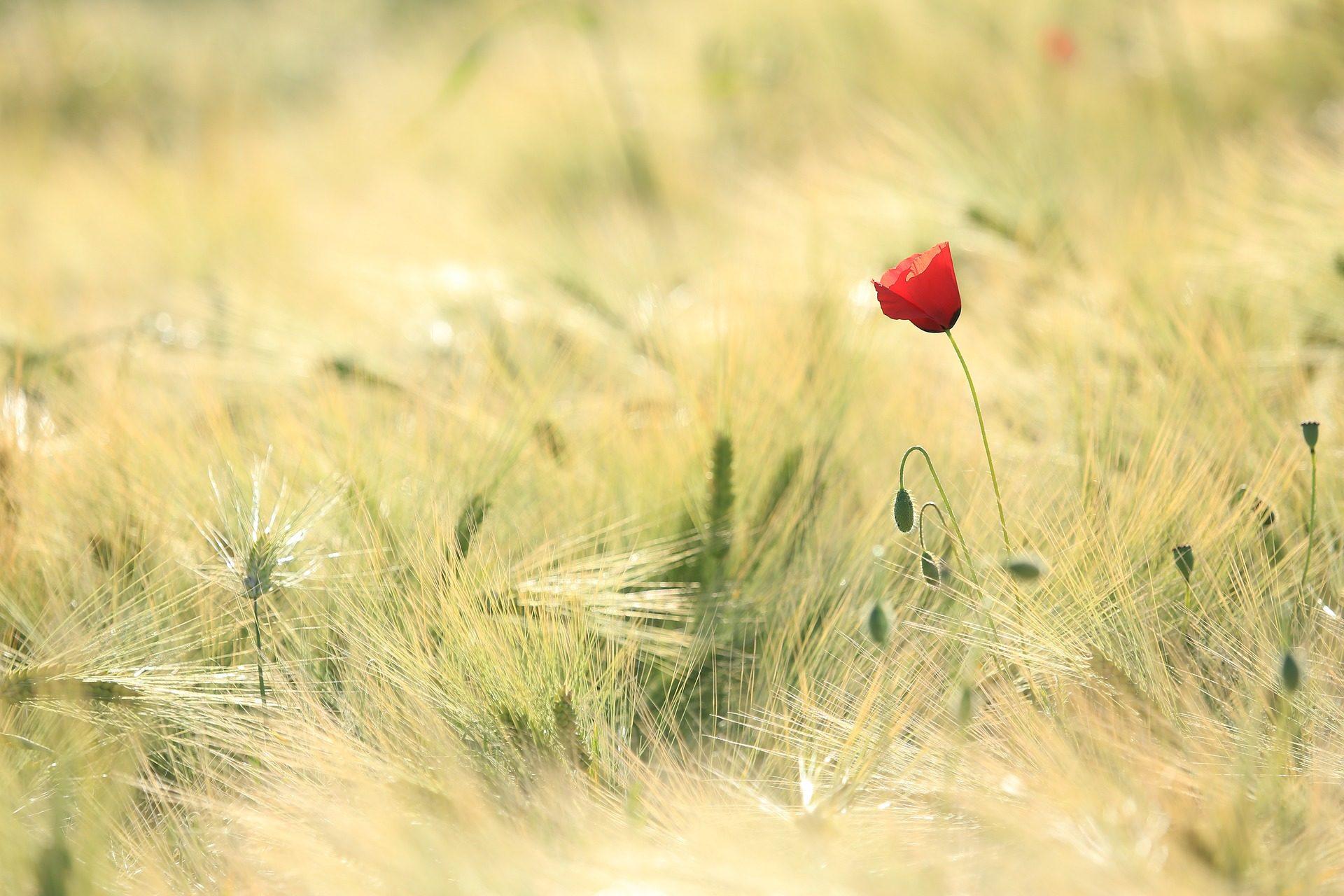 coquelicot, fleur, domaine, plantes, céréales - Fonds d'écran HD - Professor-falken.com