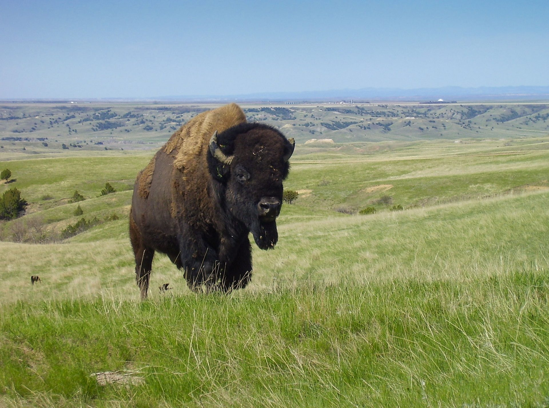 Bisonte, Buffalo, pradera, Montañas, erba, corni - Sfondi HD - Professor-falken.com