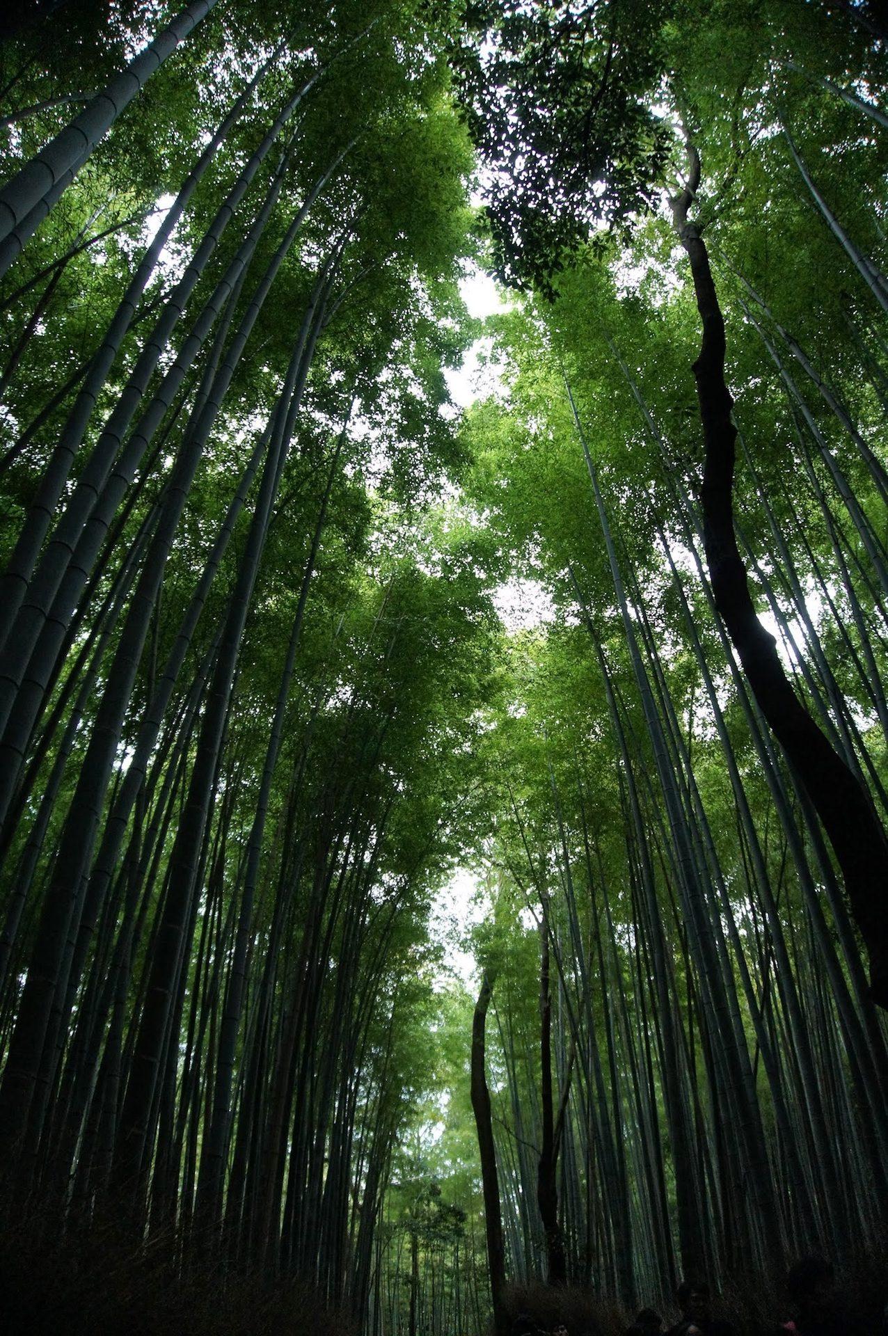 лес, Плантейшен, Bambú, деревья, пышные, Листва - Обои HD - Профессор falken.com