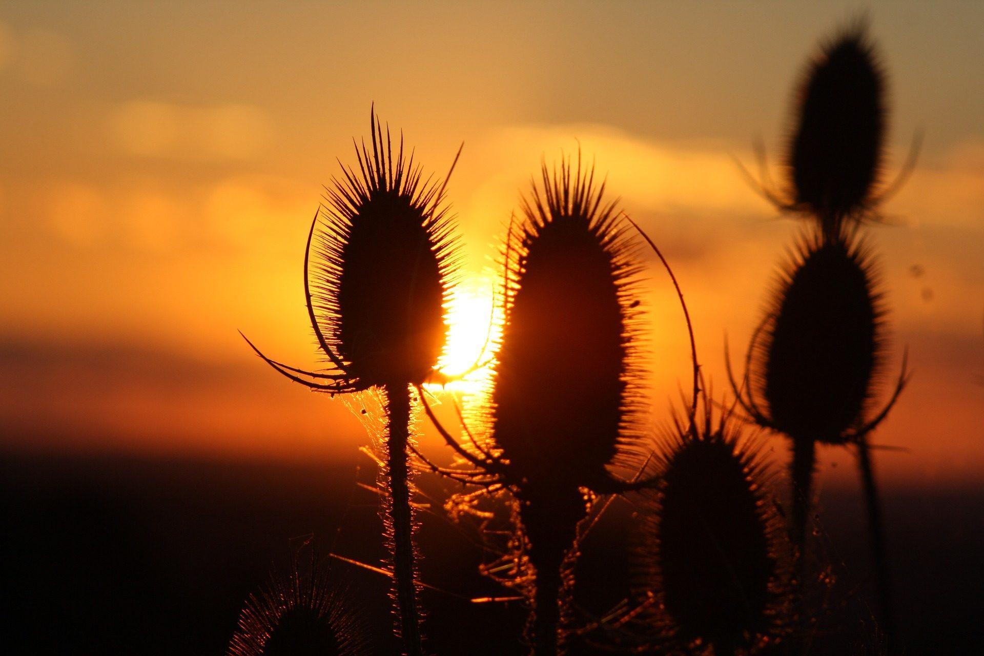 Feld, Sonnenuntergang, Sonne, Licht, Distel, Pflanzen, Schatten, Silhouetten - Wallpaper HD - Prof.-falken.com