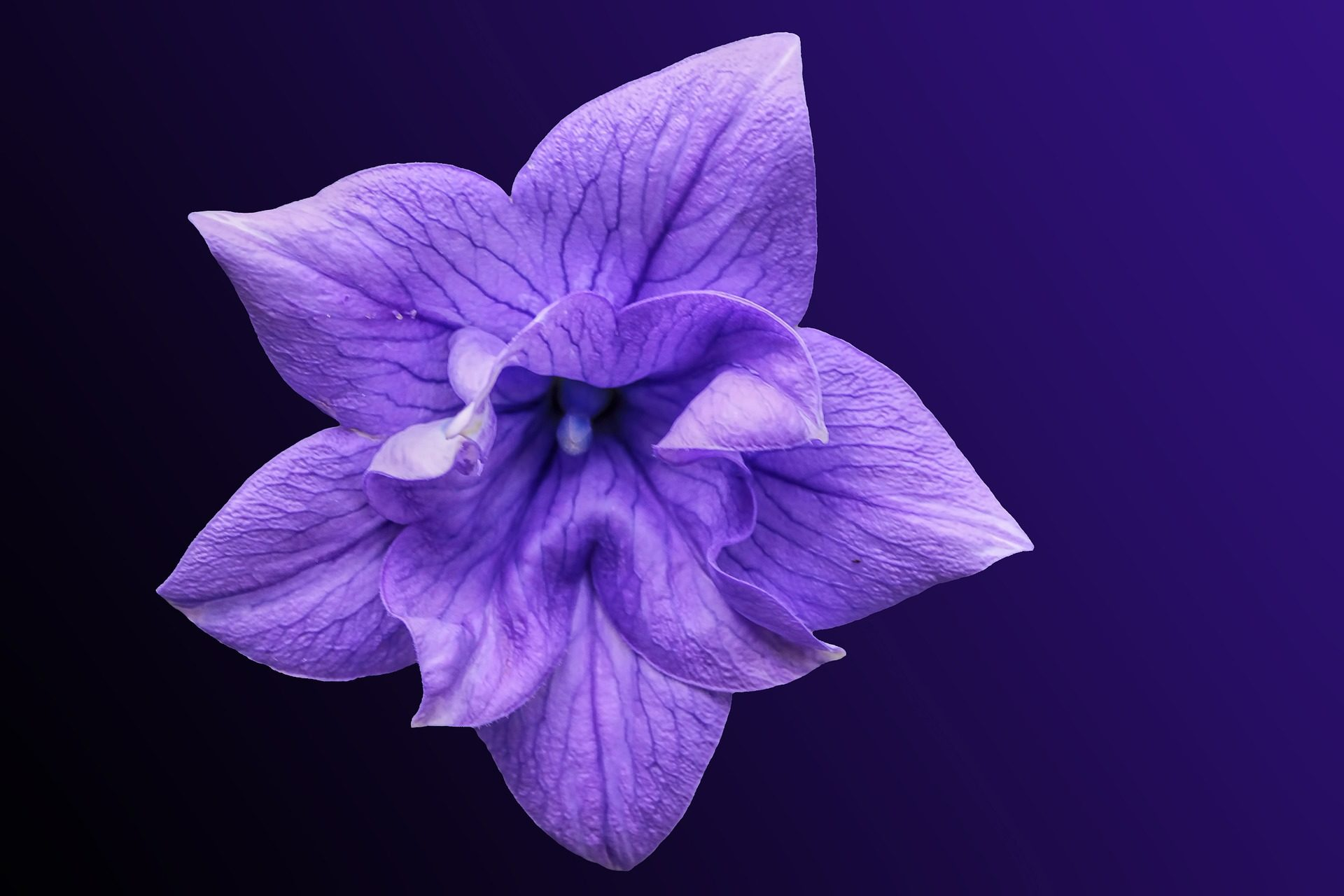 花, morada, 花びら, ベル, ブルーム, pu�紫��イオレット - HD の壁紙 - 教授-falken.com