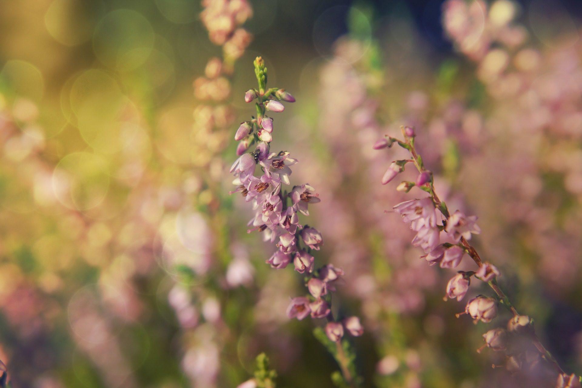 fiori, piante, Floración, campo, Viola - Sfondi HD - Professor-falken.com