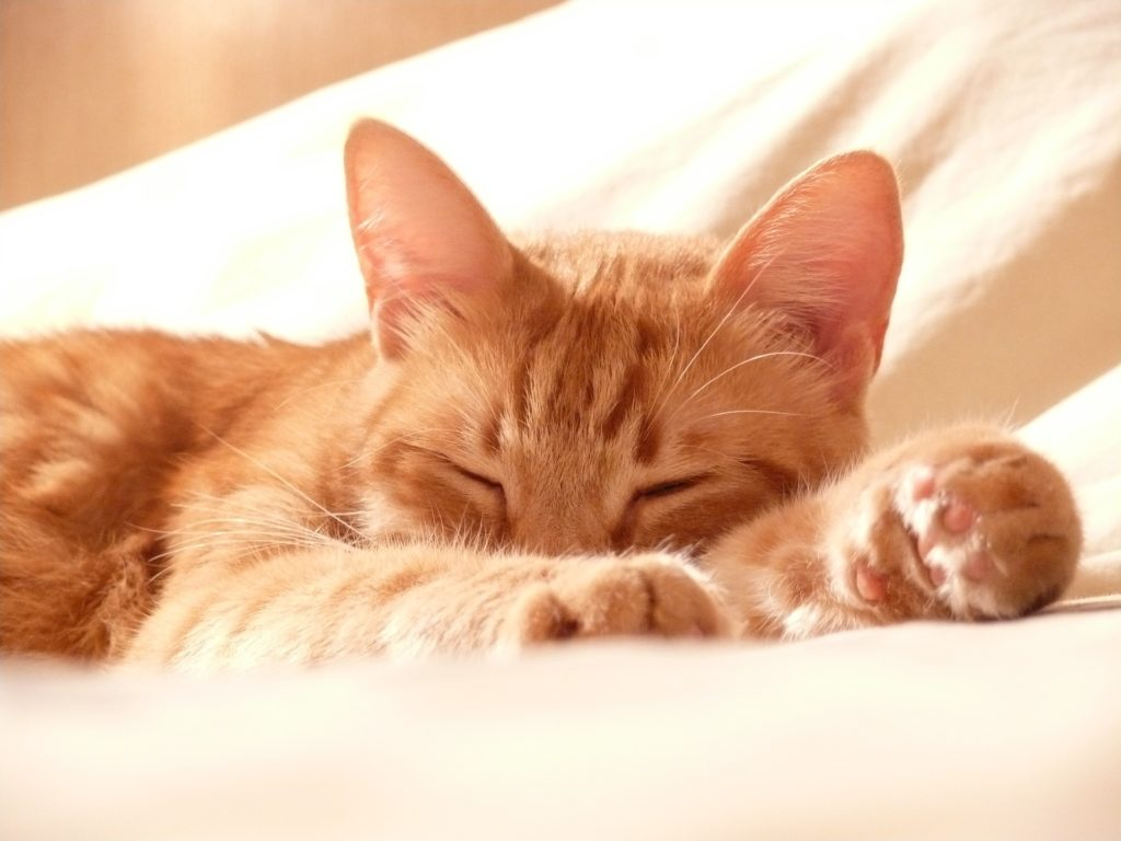 chat, Animal de compagnie, endormi, se détendre, compagnie, 1702221742