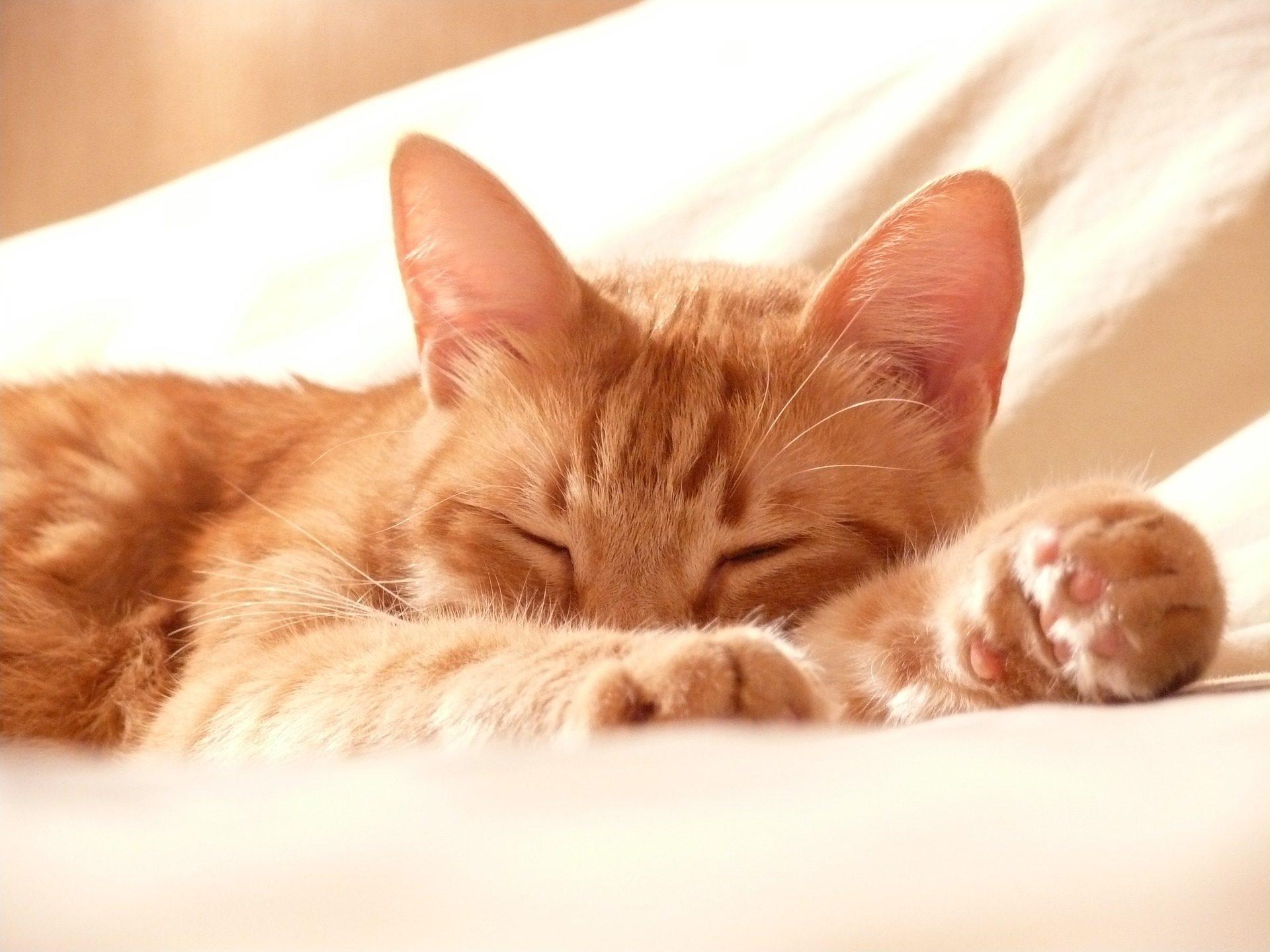 猫, ペット, 眠っています。, リラックス, 会社 - HD の壁紙 - 教授-falken.com
