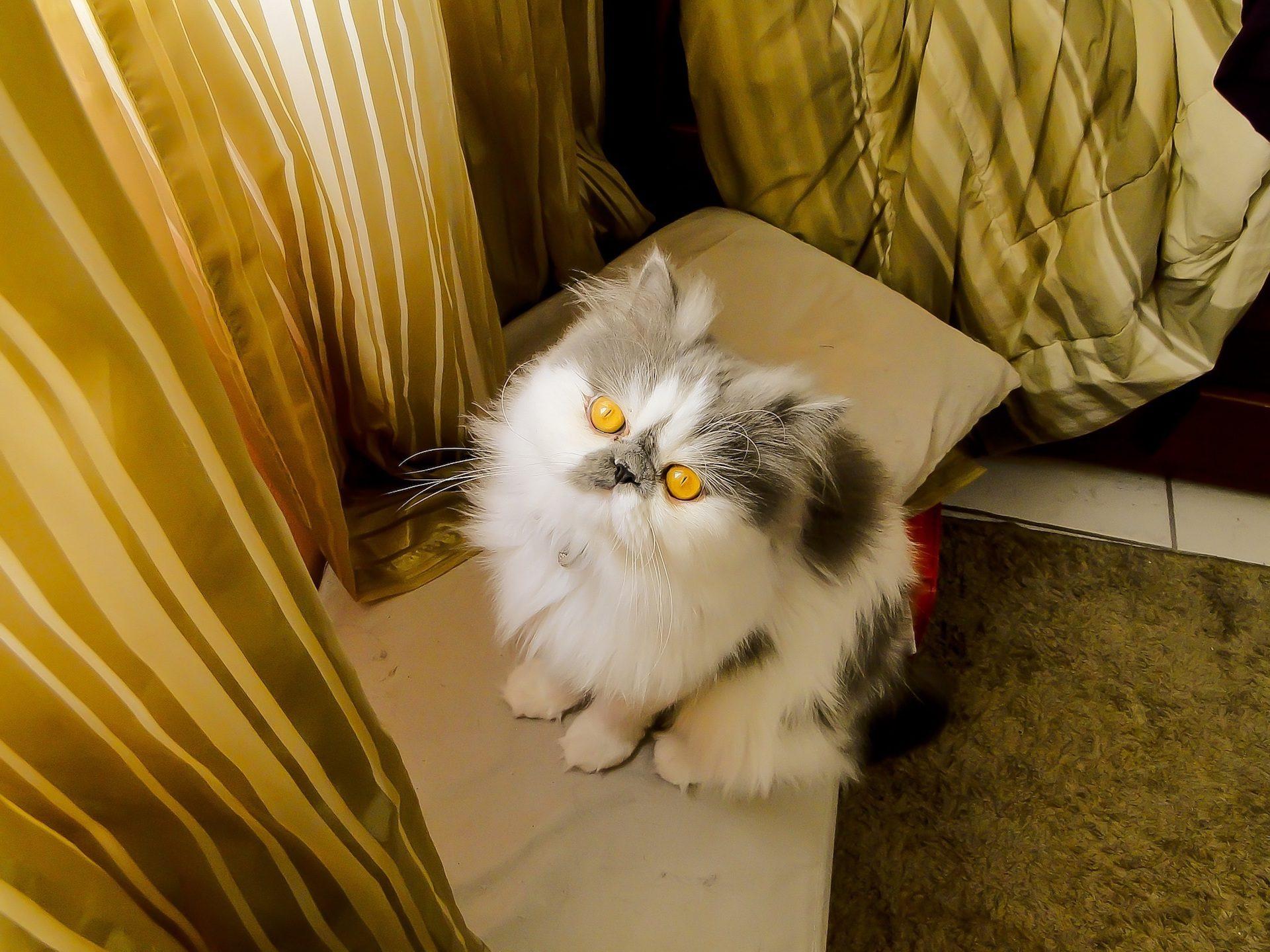 gatto, occhi, Giallo, Animale domestico, pelliccia, sguardo - Sfondi HD - Professor-falken.com