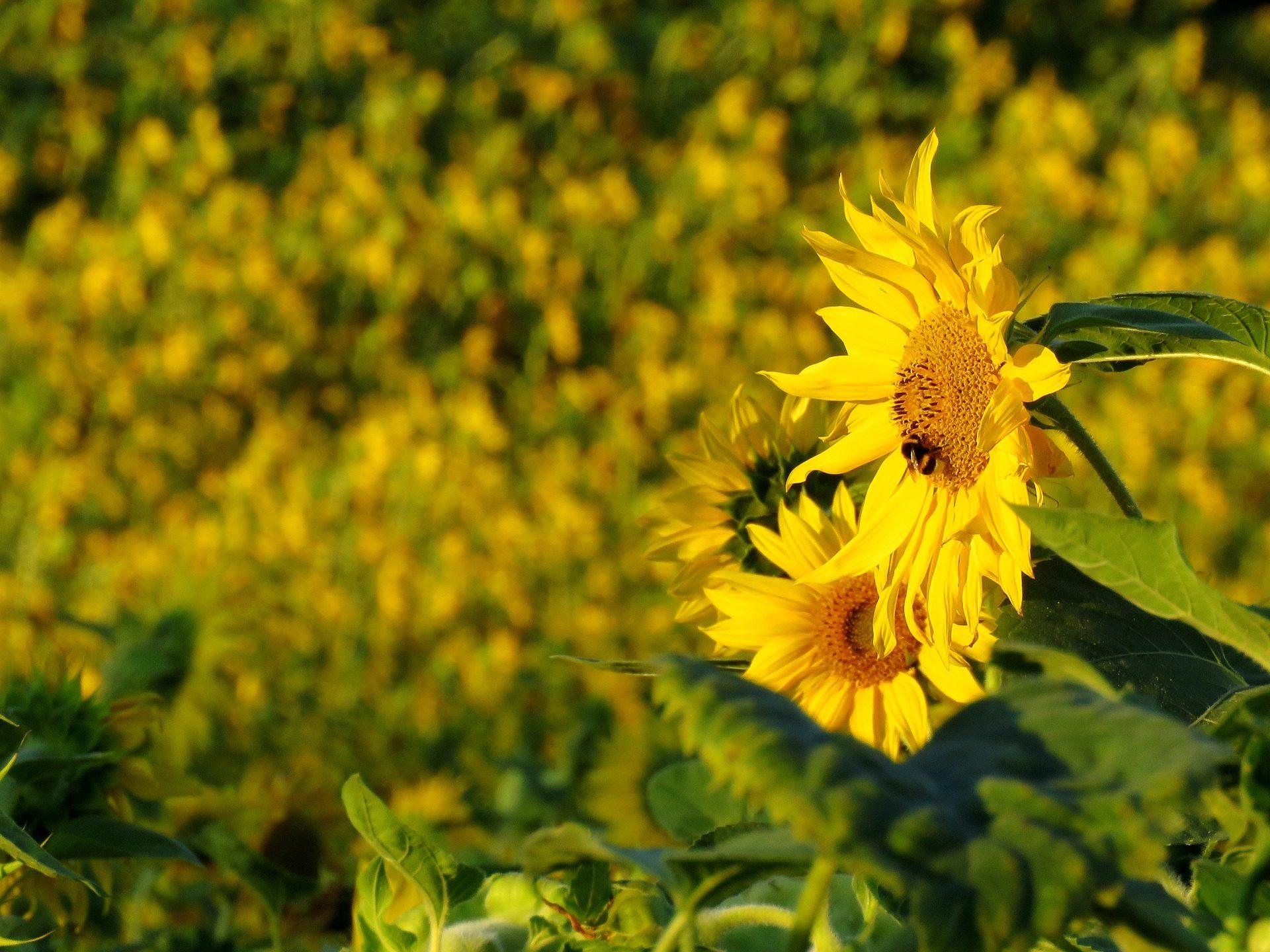girasoles, flores, plantas, floración, campo, verano - Fondos de Pantalla HD - professor-falken.com