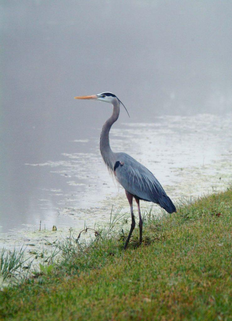 grulla, pájaro, ave, pantano, laguna, salvaje, libertad, 1702020833