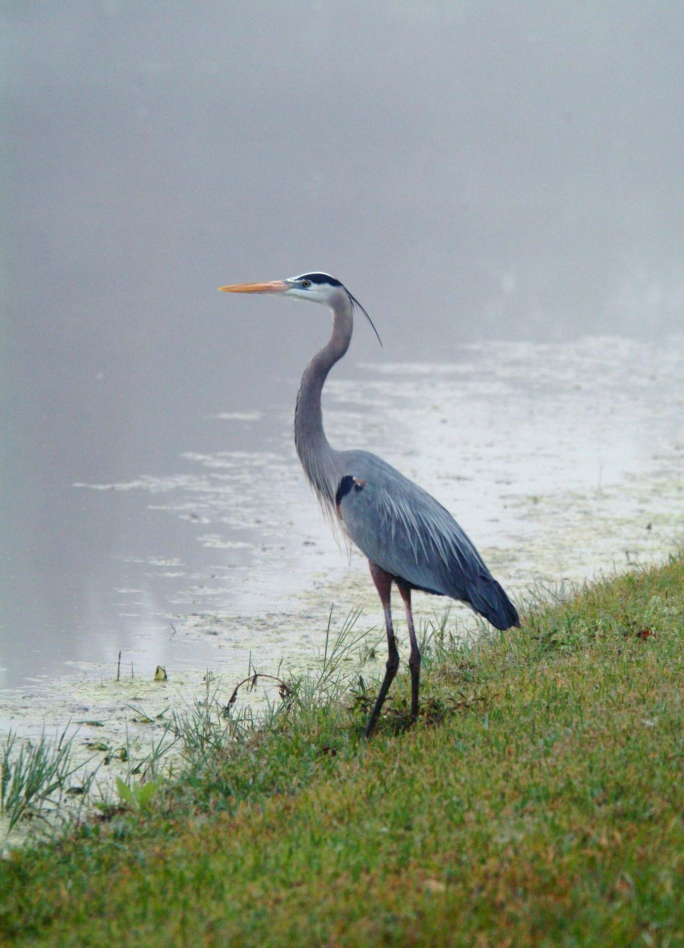 Crane Oiseau Ave Marsh Laguna Sauvage Liberte Fonds