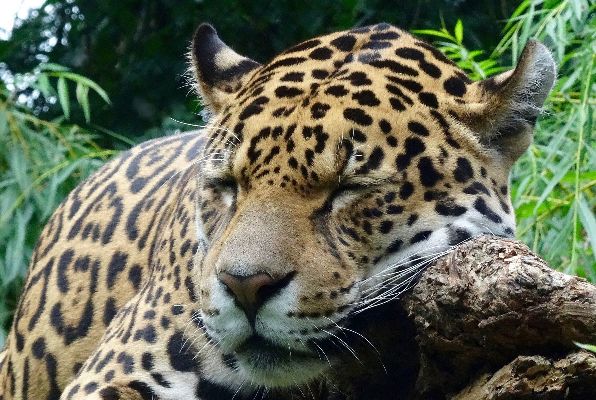 onça-pintada, felino, Predador, dormindo, descanso, jardim zoológico - Papéis de parede HD - Professor-falken.com