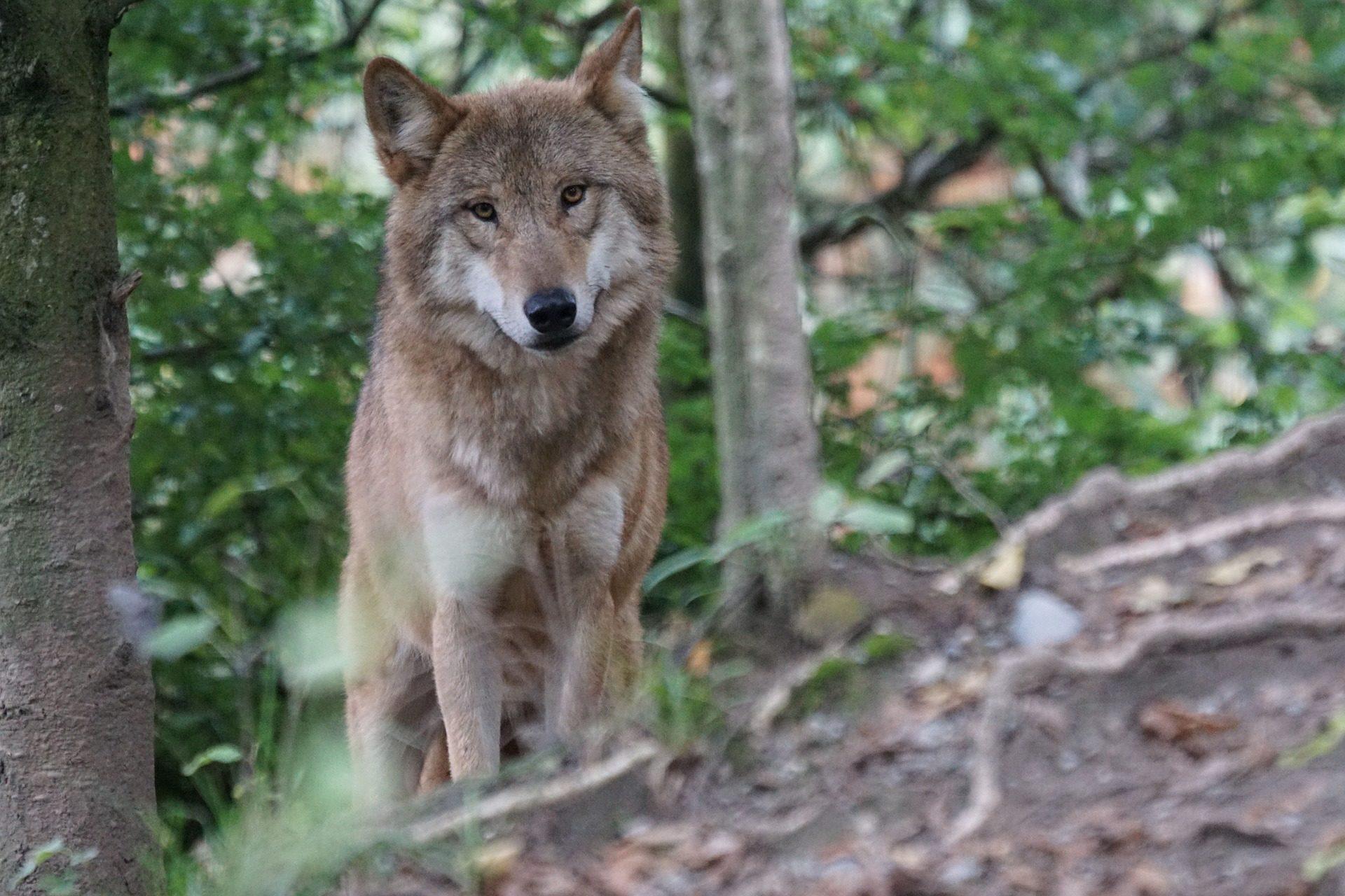 Lobo, Europeu, floresta, Predador, perigo, Olha - Papéis de parede HD - Professor-falken.com