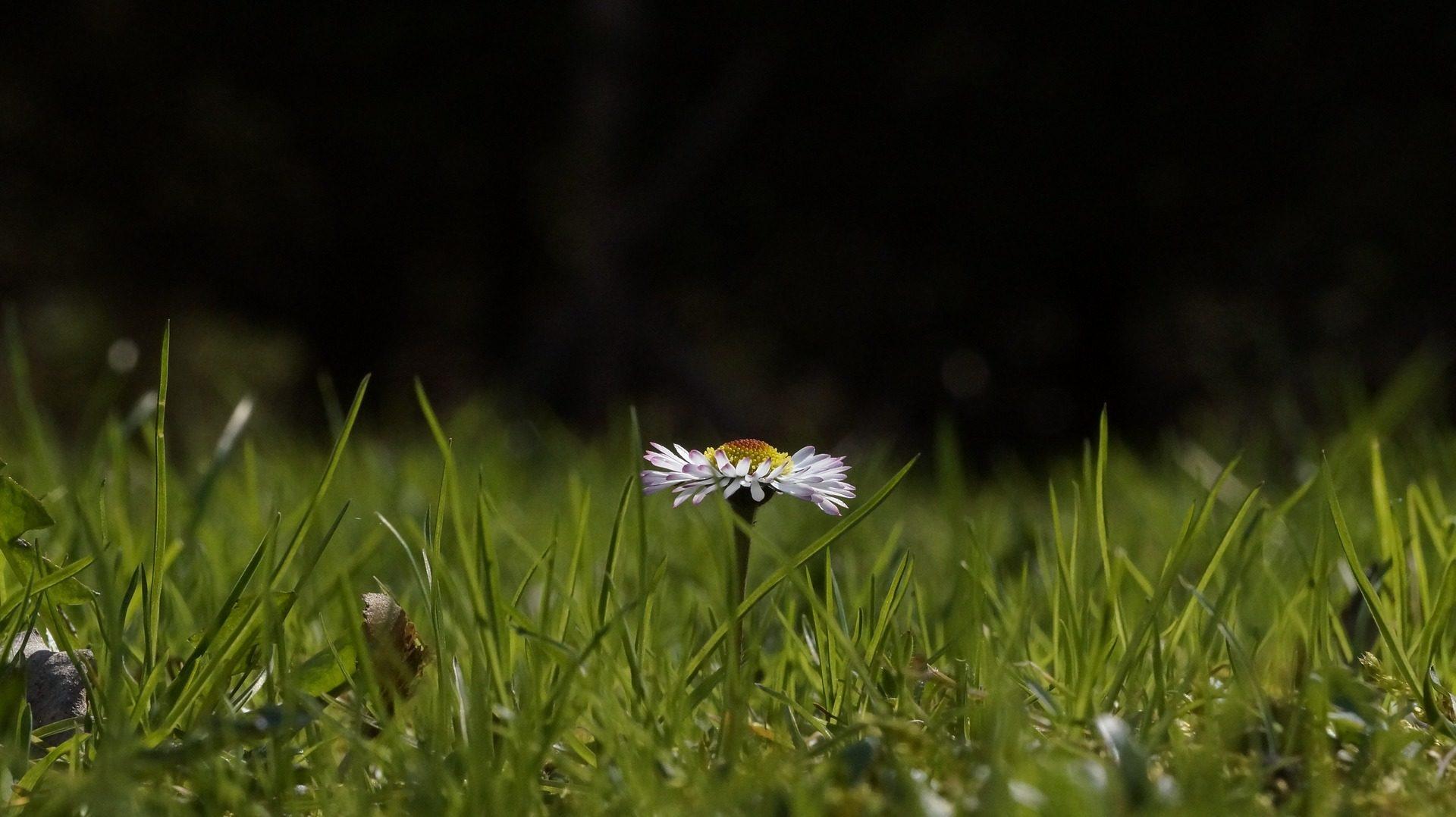 margarita, flor, campo, pétalos, hierba, solitaria - Fondos de Pantalla HD - professor-falken.com