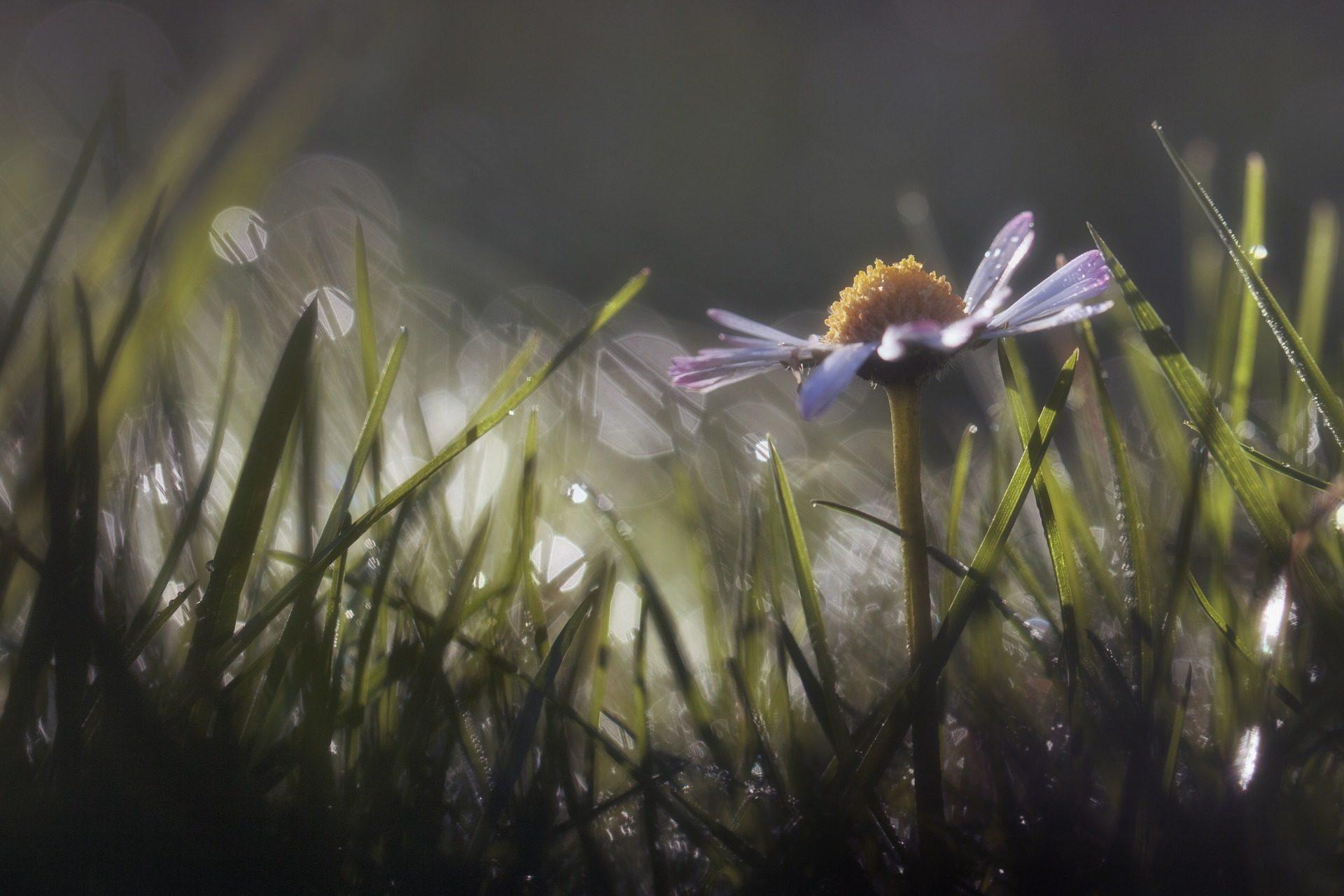 margarita, flor, planta, cesped, rocío, alba - Fondos de Pantalla HD - professor-falken.com