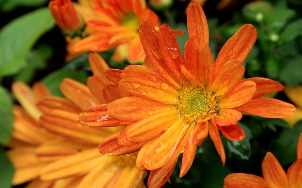 margarita, naranja, flor, pétalos, jardín, gotas, lluvia, 1702200809