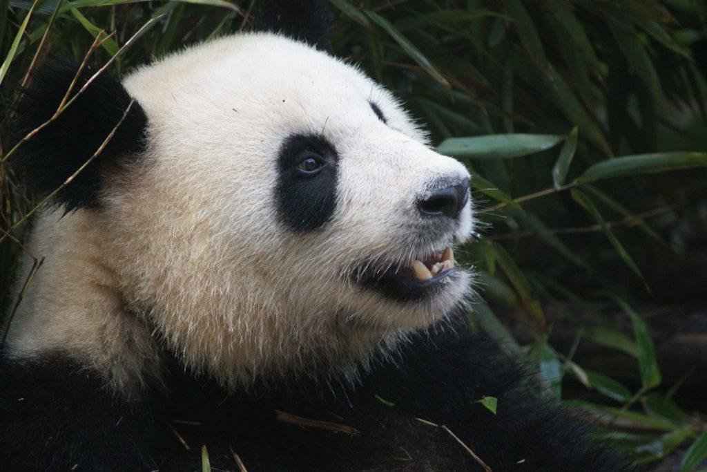 ours, Panda, visage, bambou, coup d'oeil, peint, 1702222355