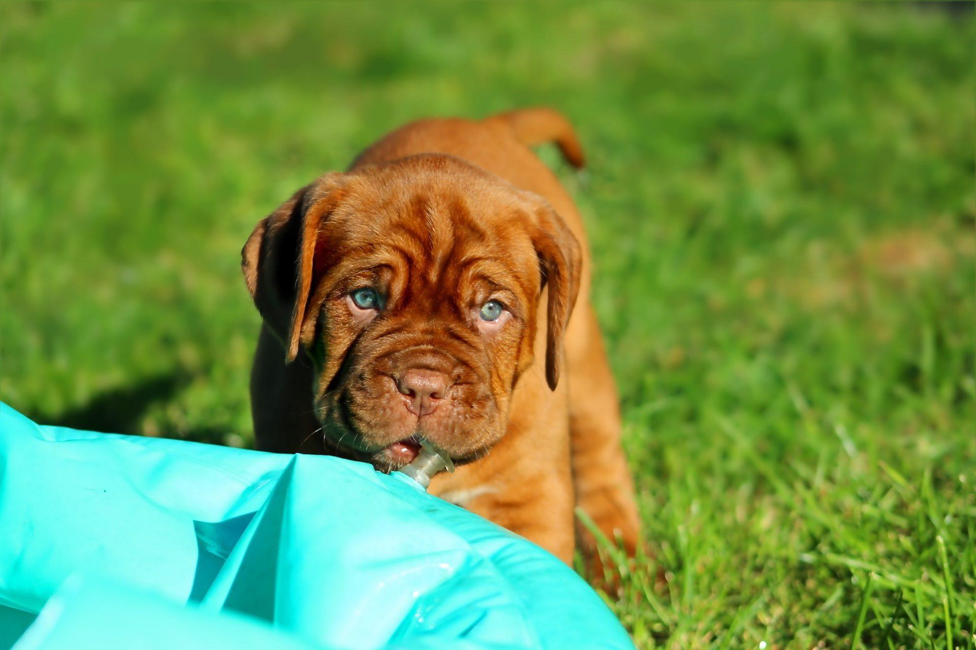 狗, 小狗, 杜高, 波尔多, 宠物, 花园 - 高清壁纸 - 教授-falken.com