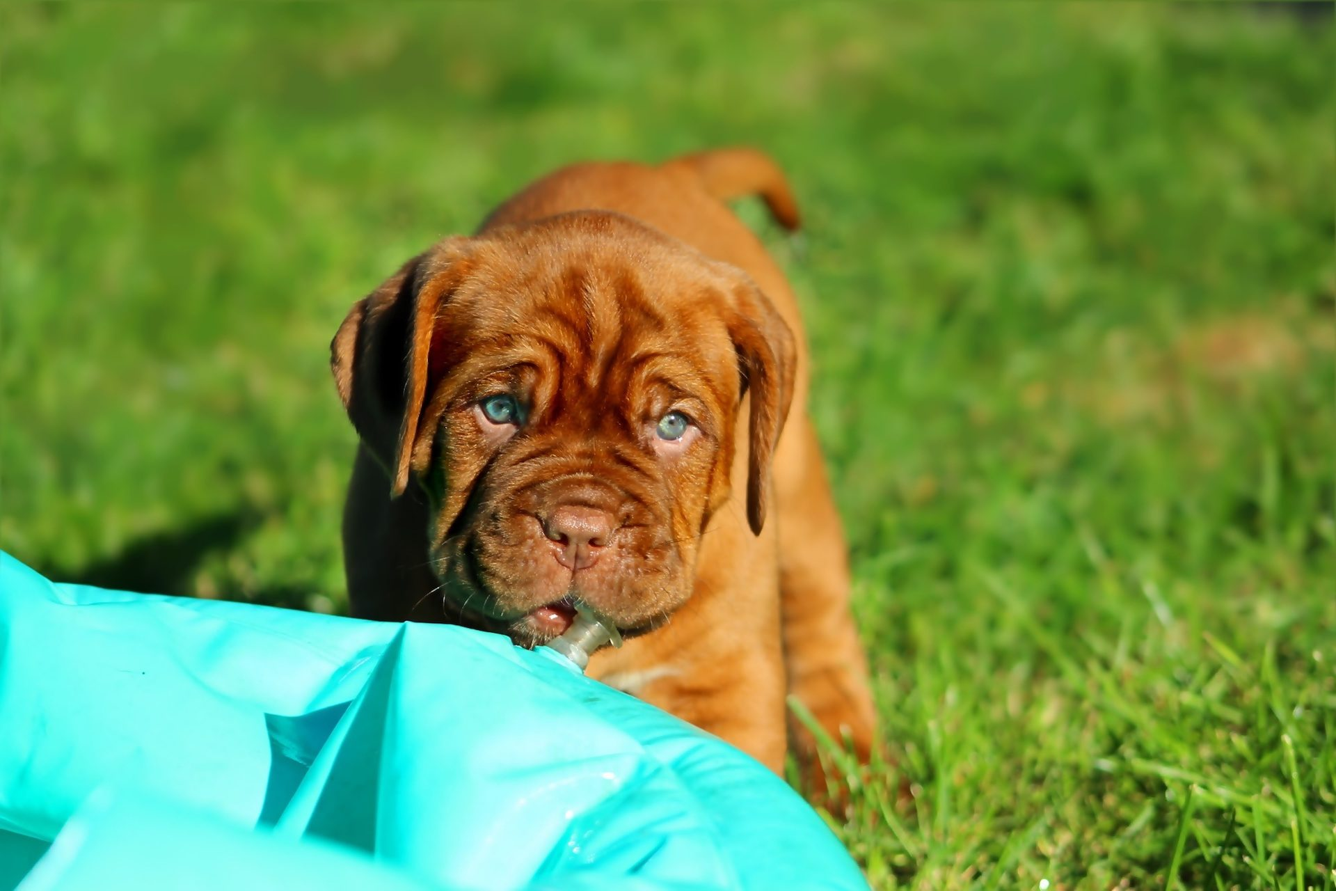 perro, cachorro, dogo, burdeos, mascota, jardín - Fondos de Pantalla HD - professor-falken.com