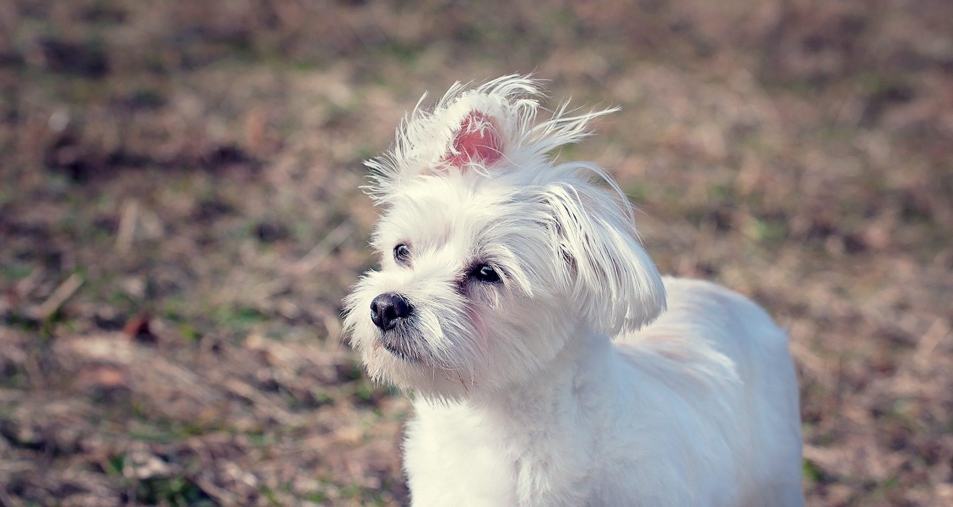 perro, mascota, bichón, maltes, amigo, compañía - Fondos de Pantalla HD - professor-falken.com