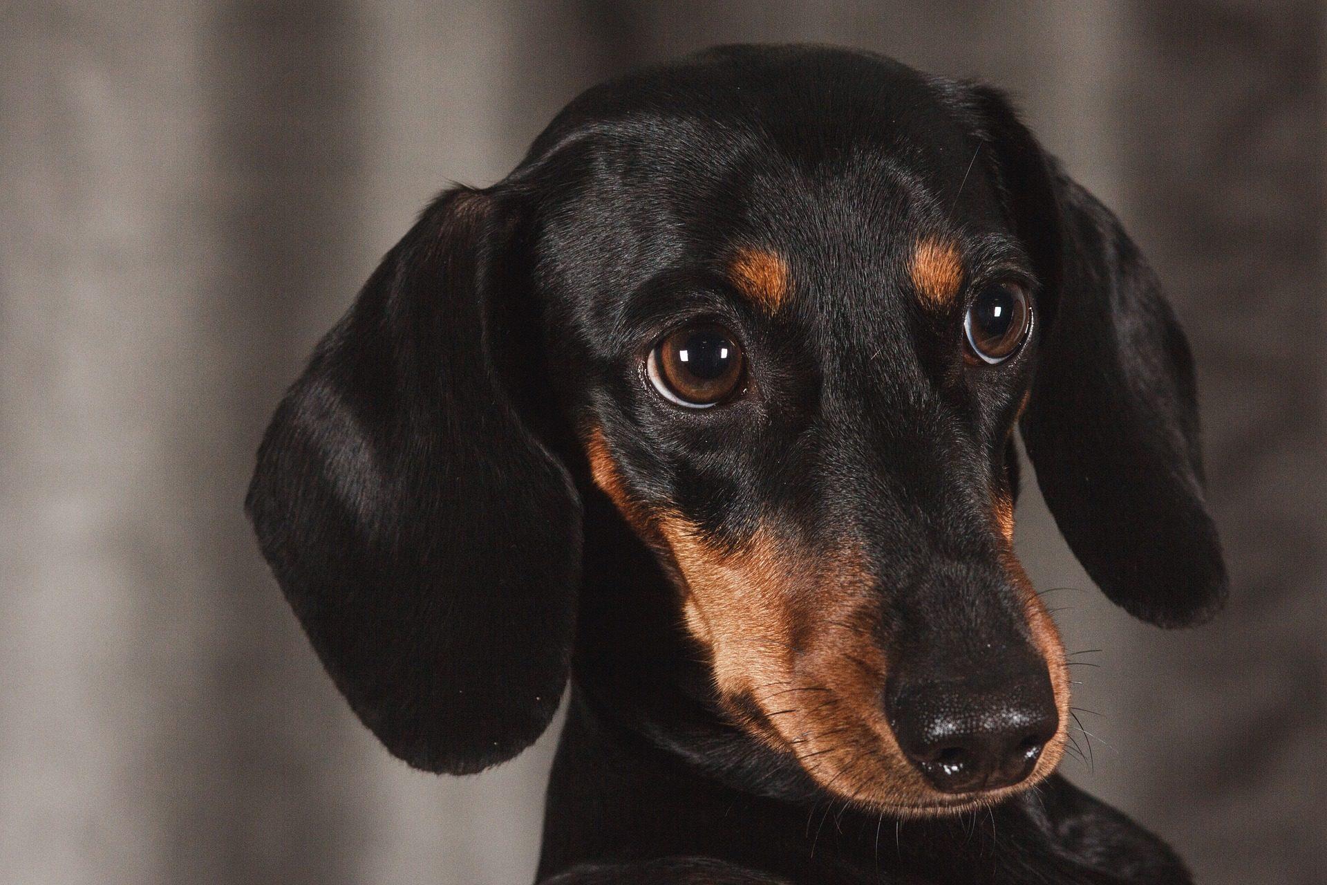 الكلب, الكلب الألماني, الوجه, نظرة, عيون, خطم, أسود - خلفيات عالية الدقة - أستاذ falken.com