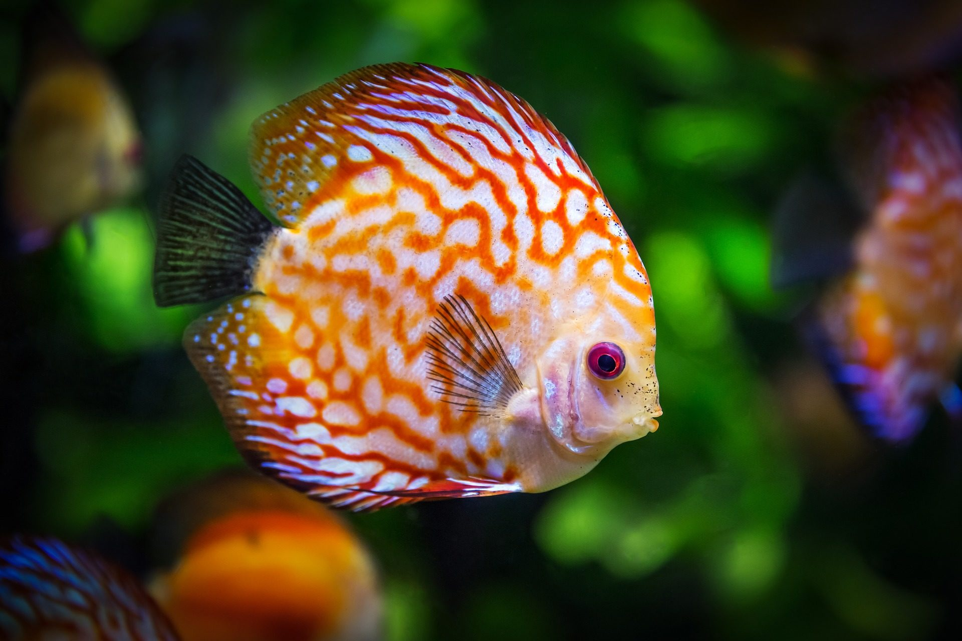 pesce, disco, colorato, Tropical, Acquario - Sfondi HD - Professor-falken.com