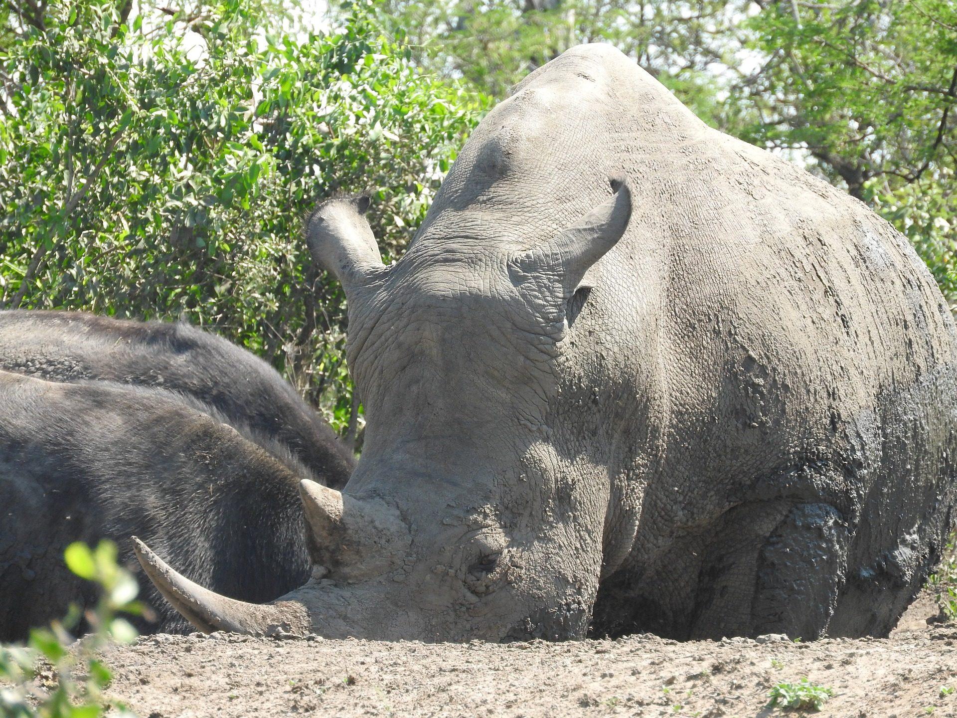サイ, ホーン, 予約, シュシュルウェにあります。, アフリカ - HD の壁紙 - 教授-falken.com