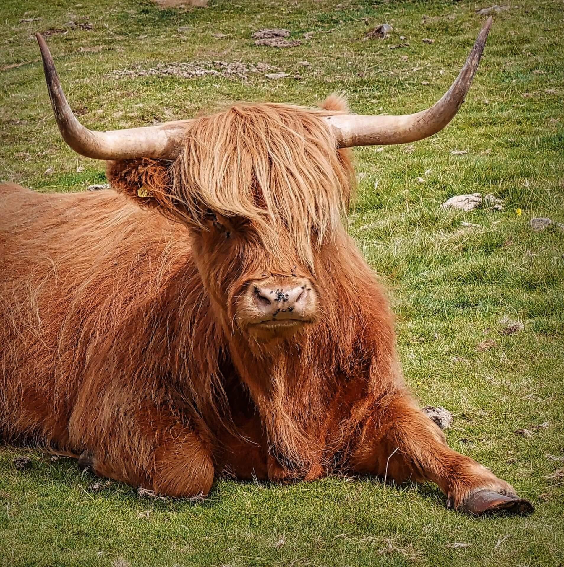 تورو, شعر, الأبواق, الثروة الحيوانية, هاميش, أرغيل, اسكتلندا - خلفيات عالية الدقة - أستاذ falken.com