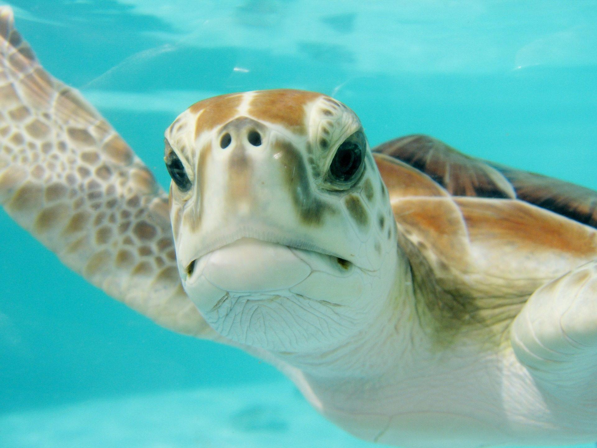Tartaruga, Marina, Olha, nariz, debaixo d'água - Papéis de parede HD - Professor-falken.com