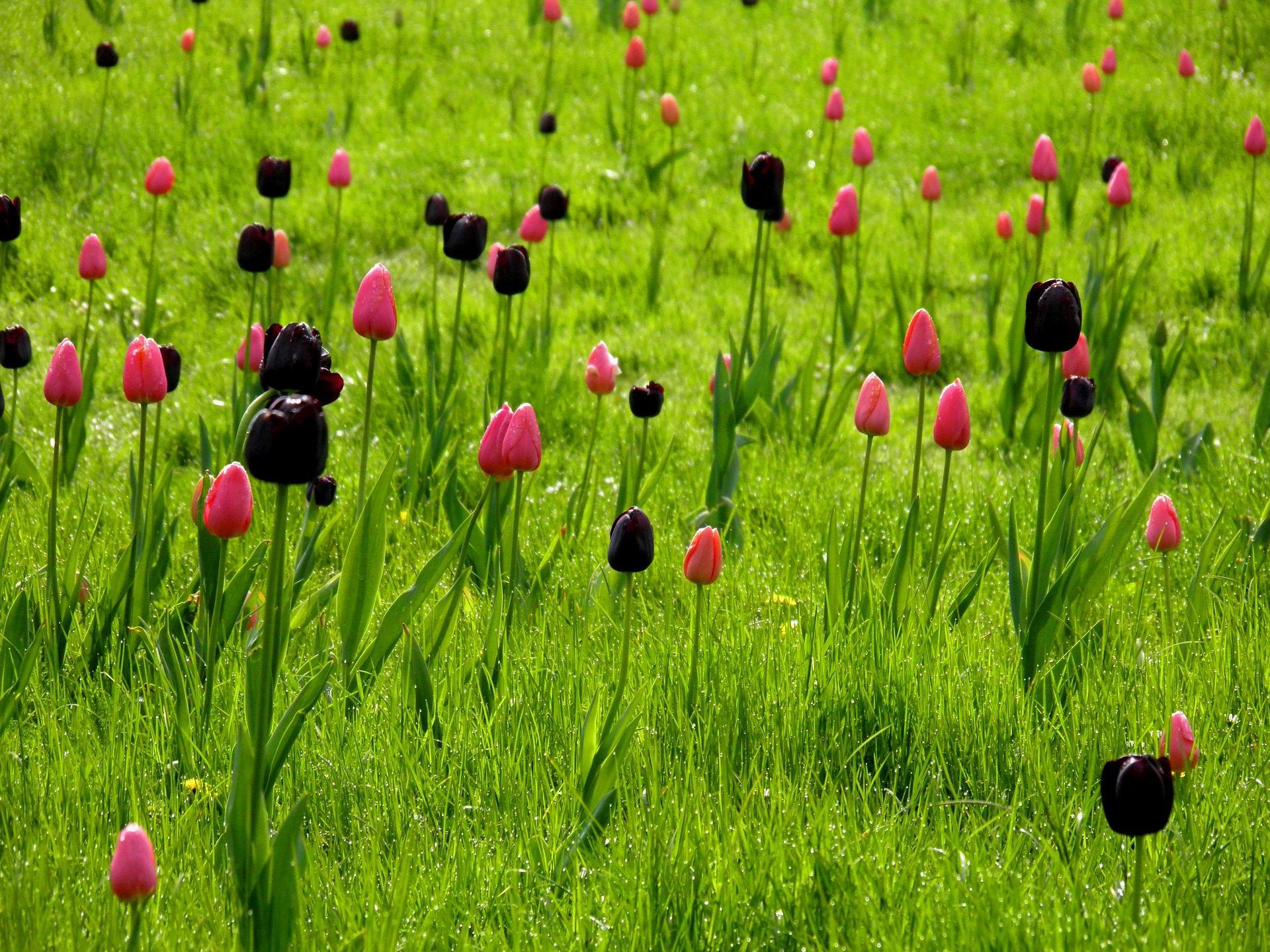 Tulpen, PRADO, Blumen, Feld, Grass, wegen - Wallpaper HD - Prof.-falken.com