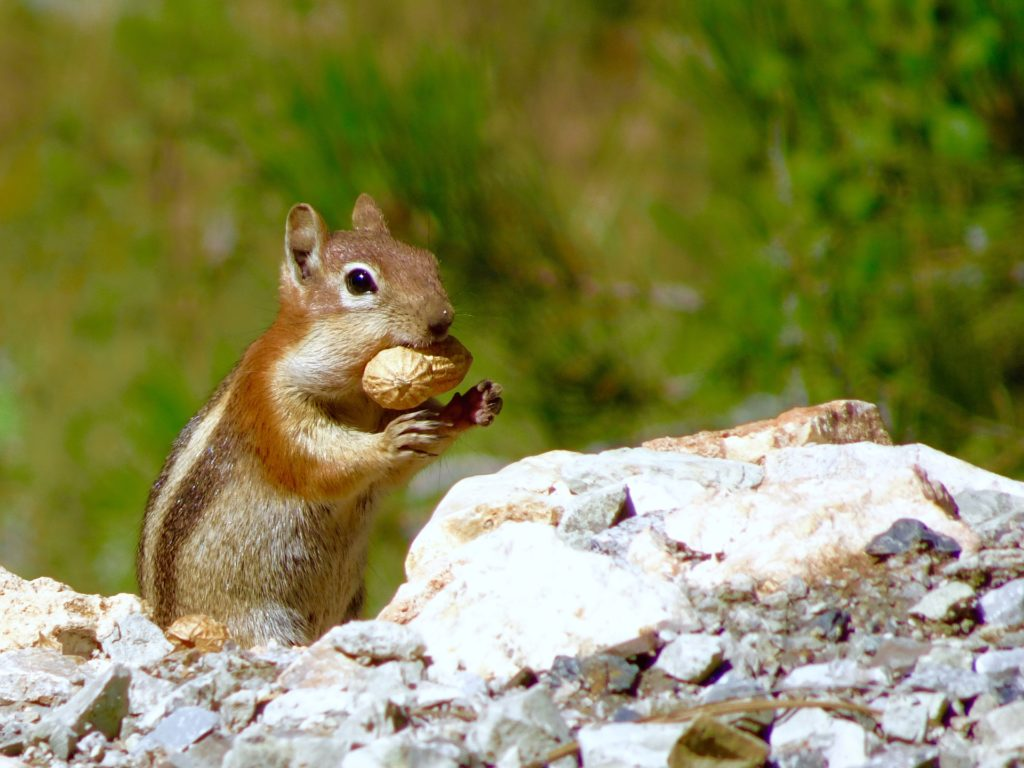 ardilla, roedor, salvaje, cacahuete, piedras, 1703202320
