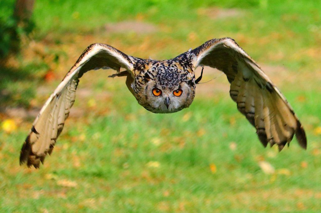 búho, lechuza, pájaro, ave, rapaz, envergadura, vuelo, 1703082337