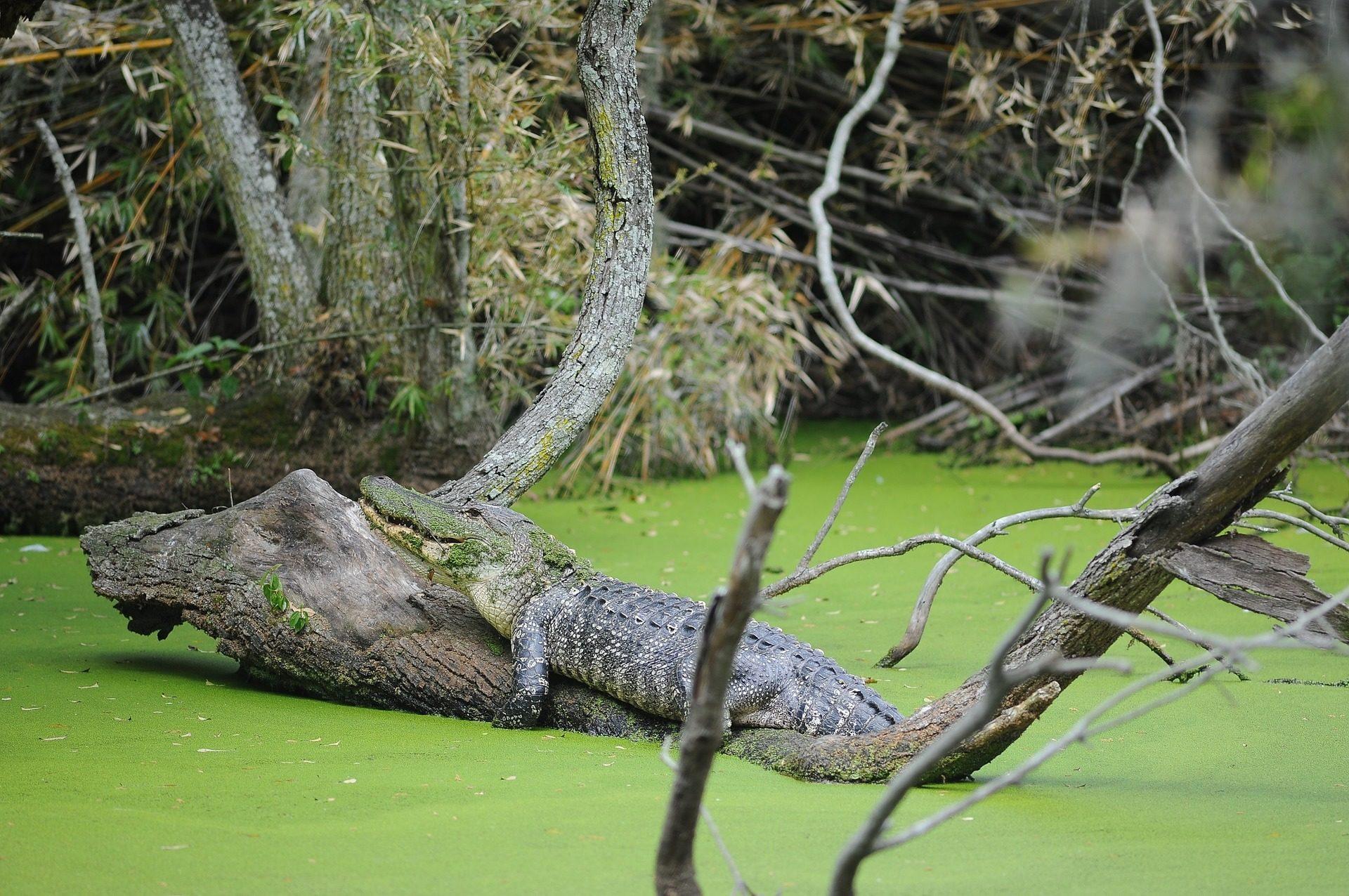 تمساح, كايمان, مستنقع, نهر, الأشجار, الفروع - خلفيات عالية الدقة - أستاذ falken.com