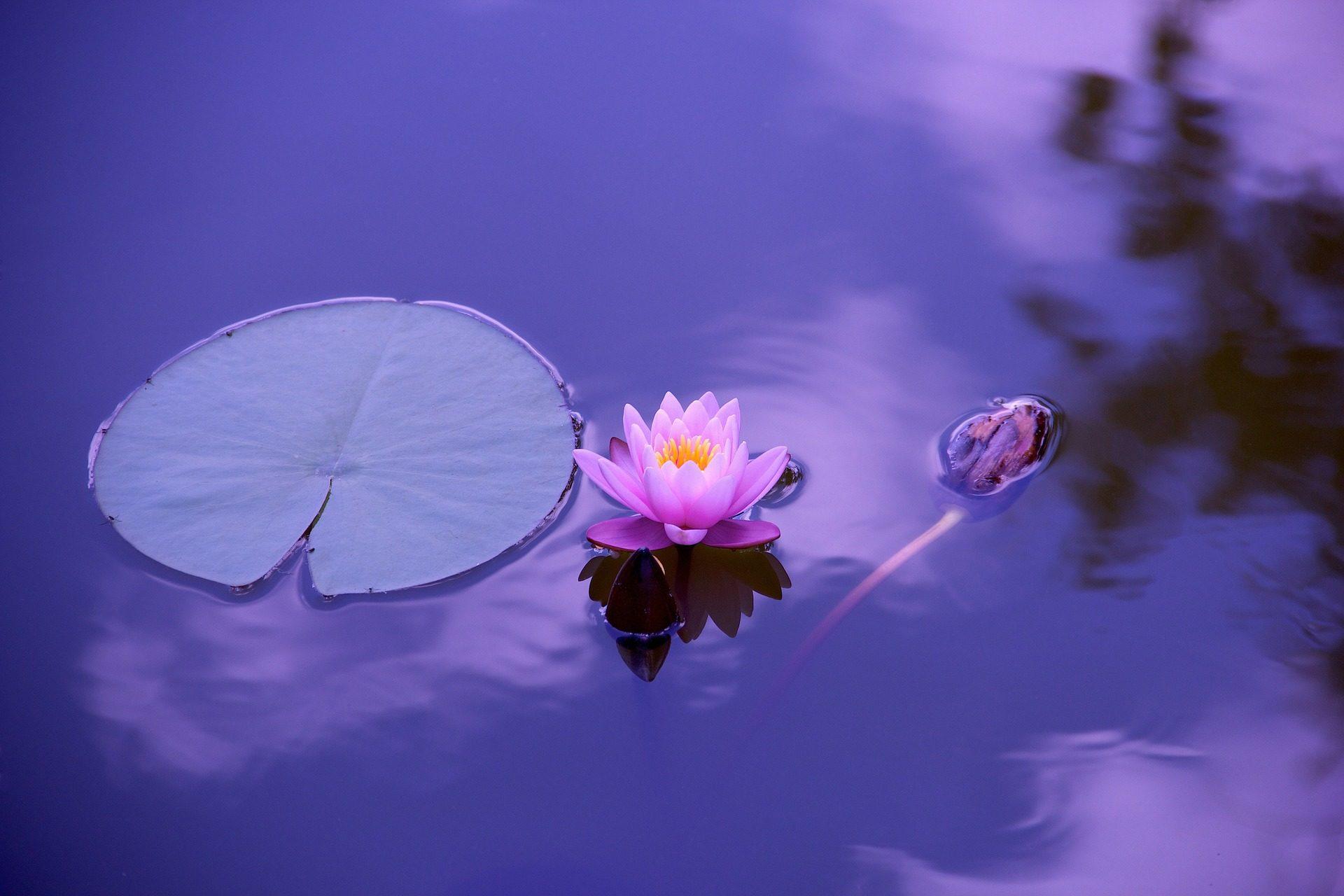 цветок, Лотос, Водяная лилия, ЧАРКА, Сад, Zen, Йога, Медитация - Обои HD - Профессор falken.com