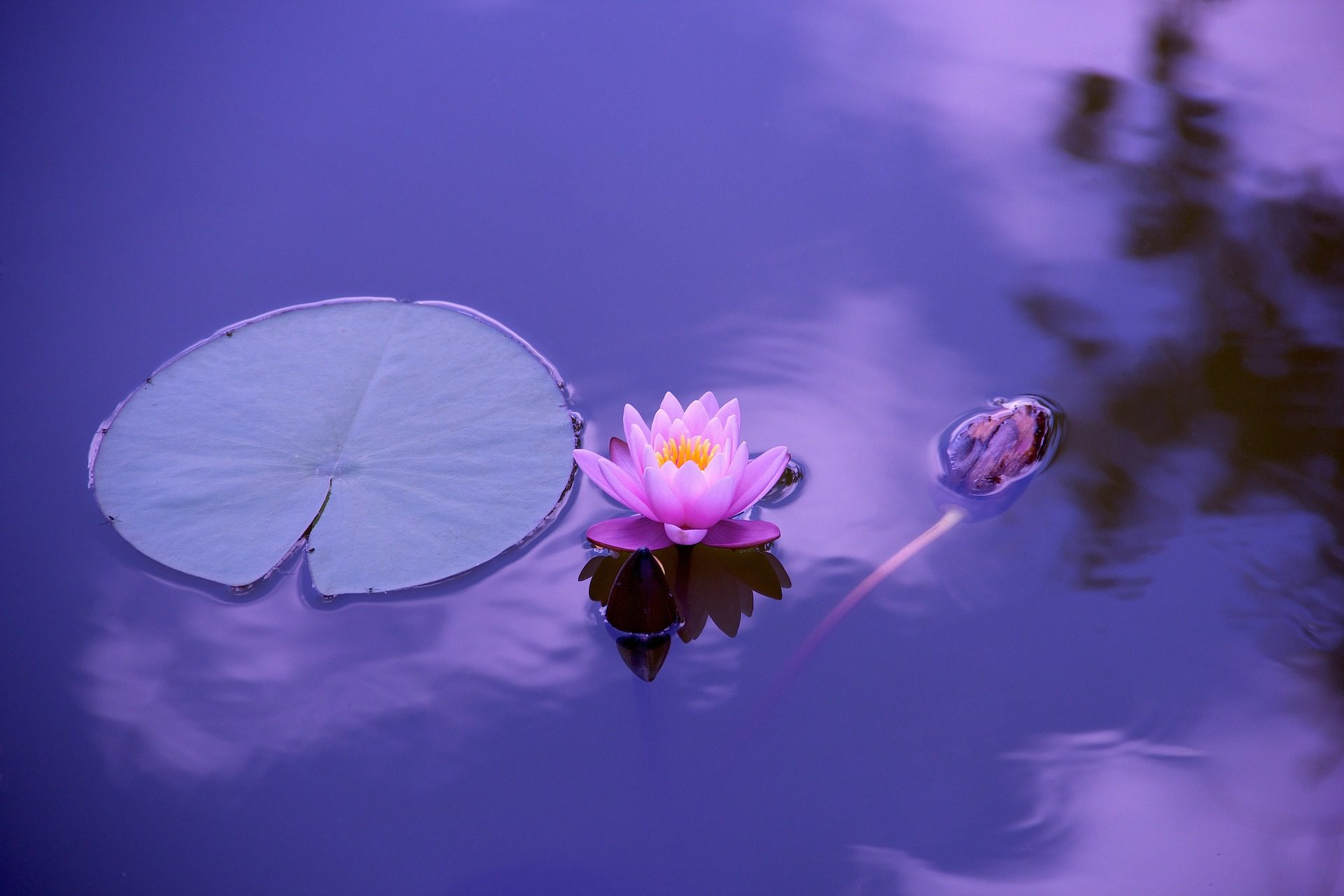 flor, loto, nenúfar, charca, jardín, zen, yoga, meditación - Fondos de Pantalla HD - professor-falken.com