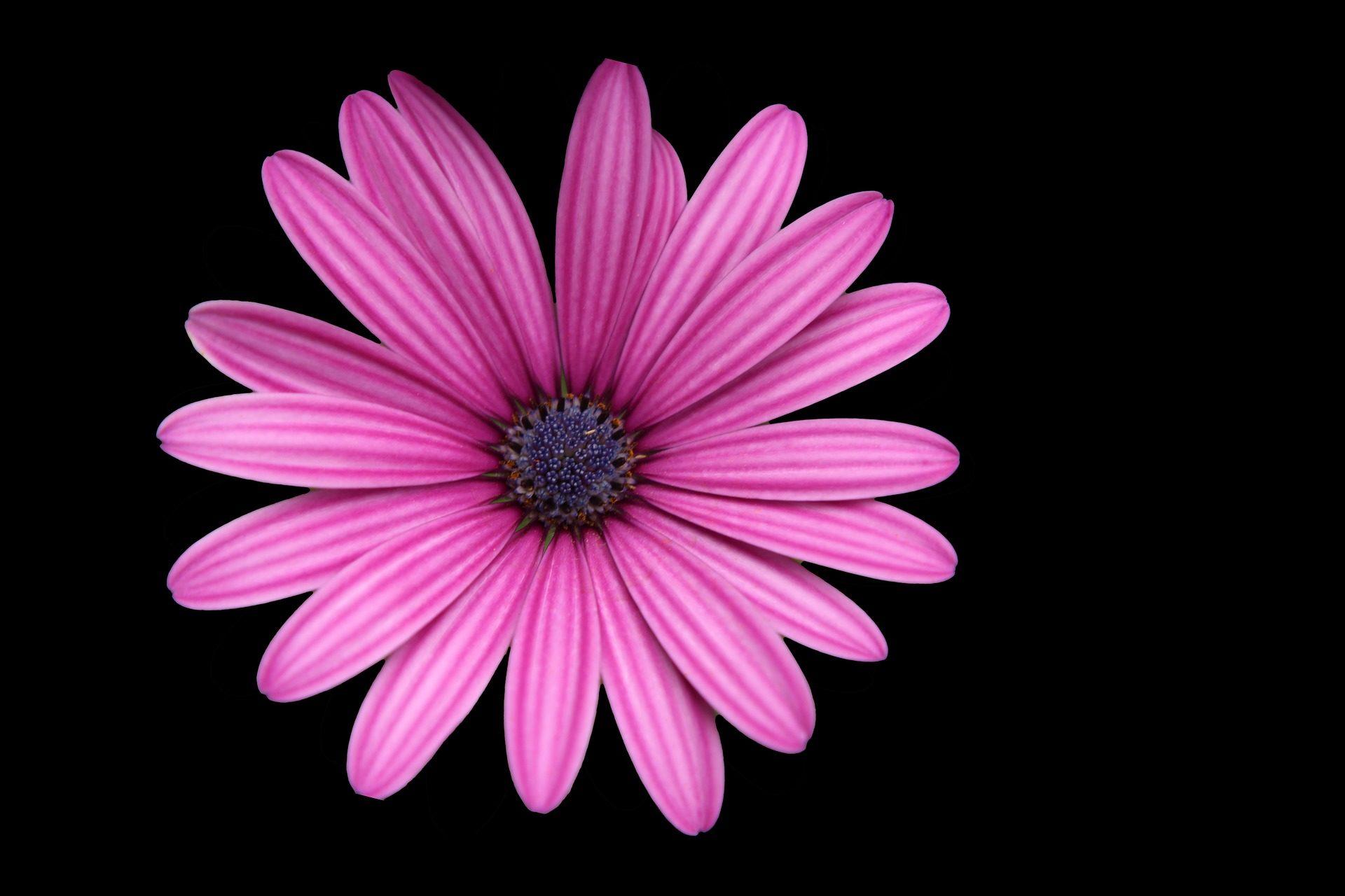 Fondo De Pantalla Flores Rosas: Pin Petalos-en-forma-de-rosa-fondos-pantalla-escritorio On