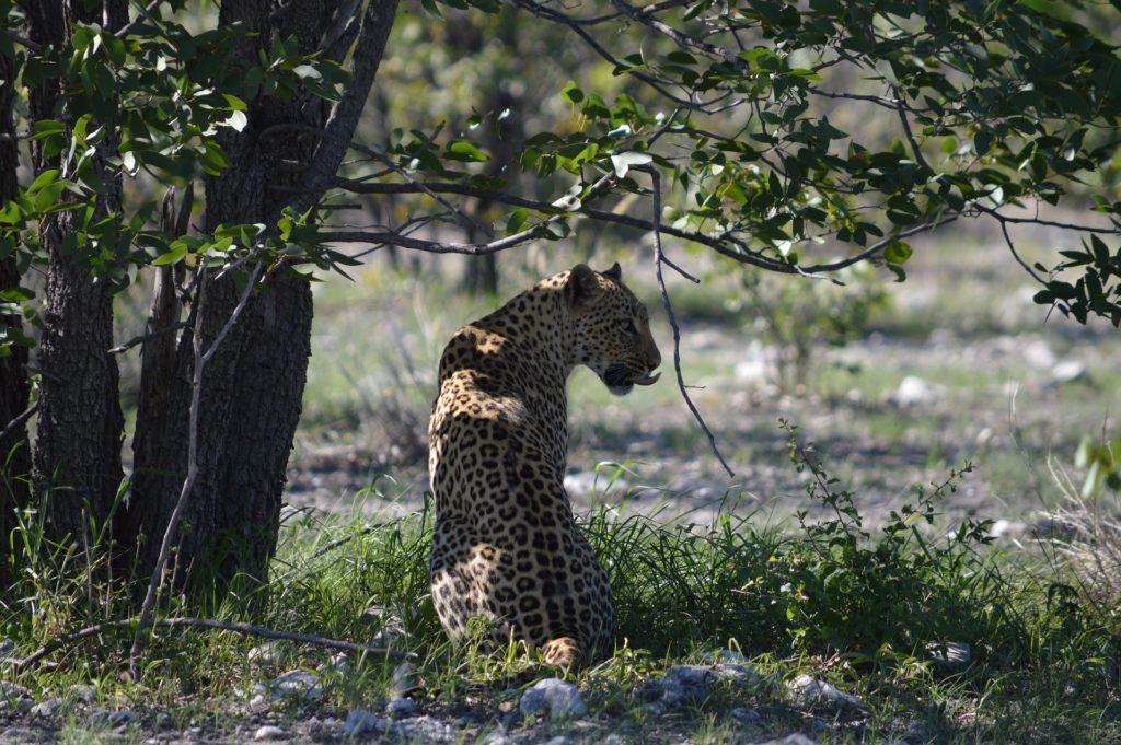 leopardo, salvaje, libertad, felino, etosha, namibia, áfrica, 1703311451