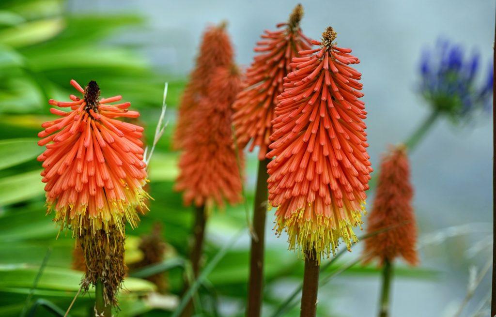 lirios, 赤, antorchas, 花, ブルーム, 1703282255