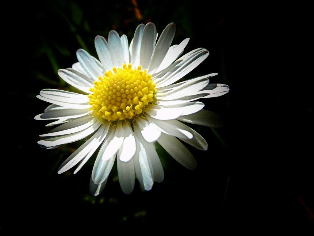 玛格丽塔, 花, 花瓣, anteras, 关于, 1703230816