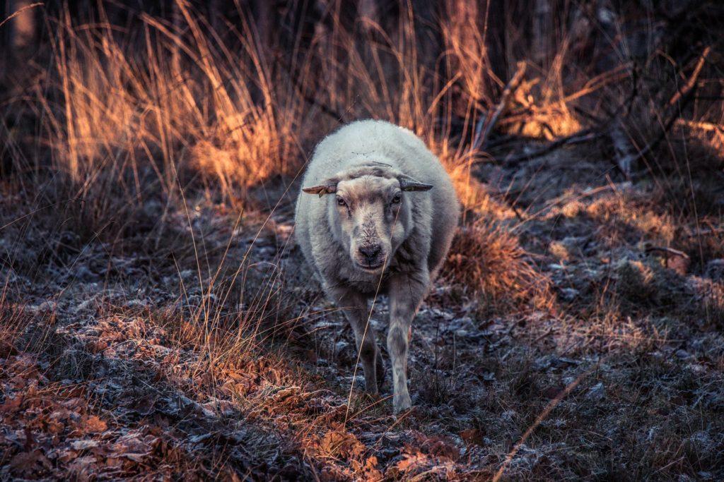 oveja, campo, perdida, mirada, rebaño, doméstica, 1703271438