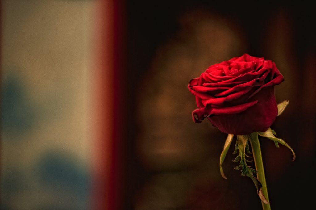 rosa, roja, tallo, flor, pétalos, amor, romántico, 1703231902