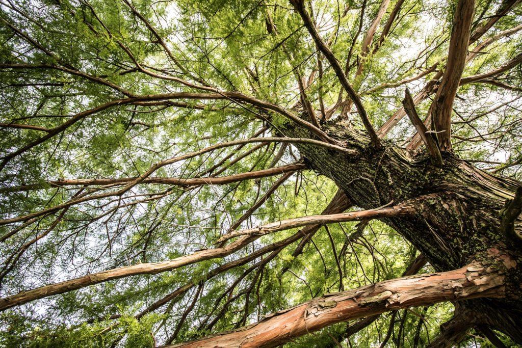 树, 分支机构, 松树, 树干, conífera, 1704262128
