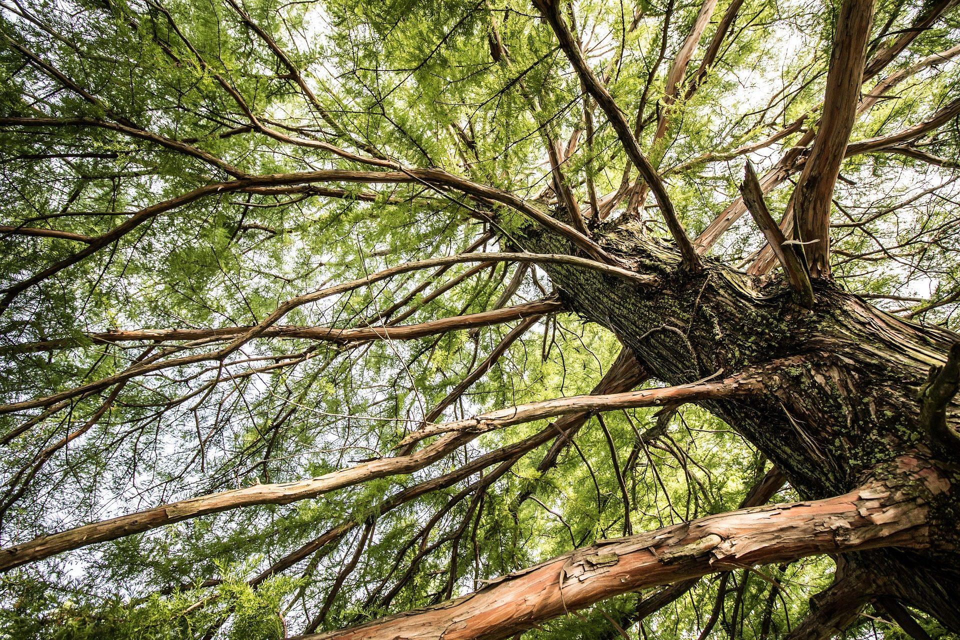 árvore, Ramos, Pinheiro, porta-malas, Conífera - Papéis de parede HD - Professor-falken.com
