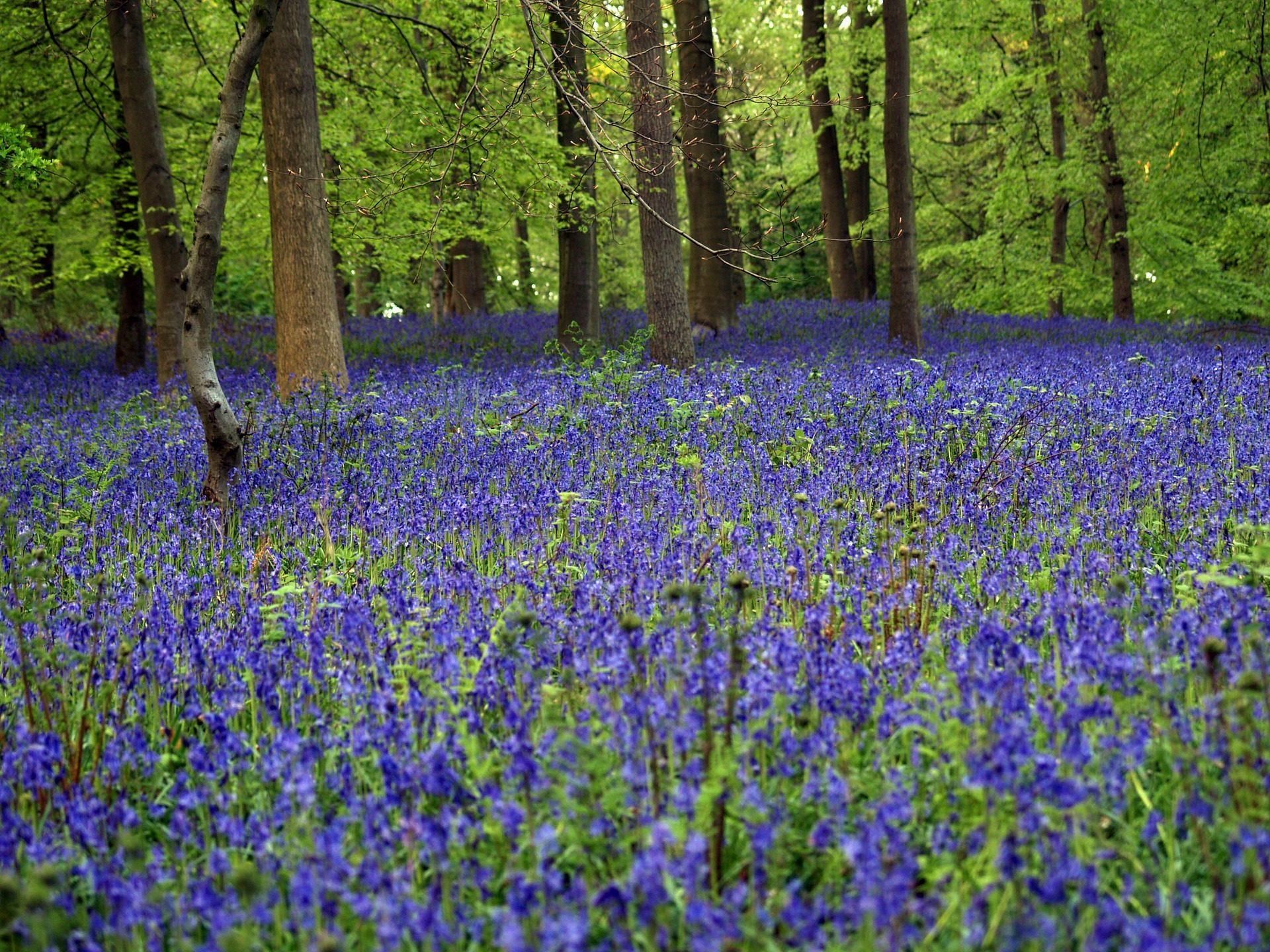 campo, bosque, árboles, campanillas, azules, plantas - Fondos de Pantalla HD - professor-falken.com