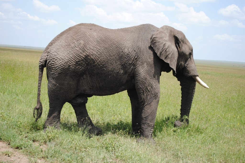 elefante, colmillos, libertad, serengueti, tanzania, 1704241755