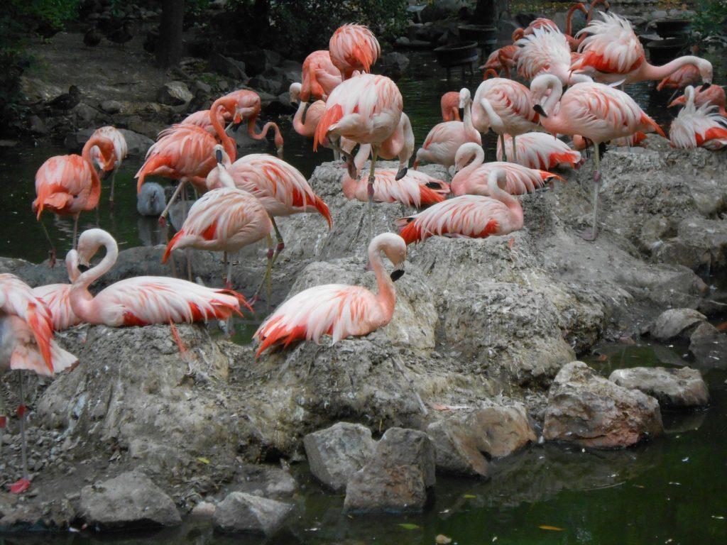 flamencos, aves, zancudas, bandada, piedras, lago, rosados, 1704212123