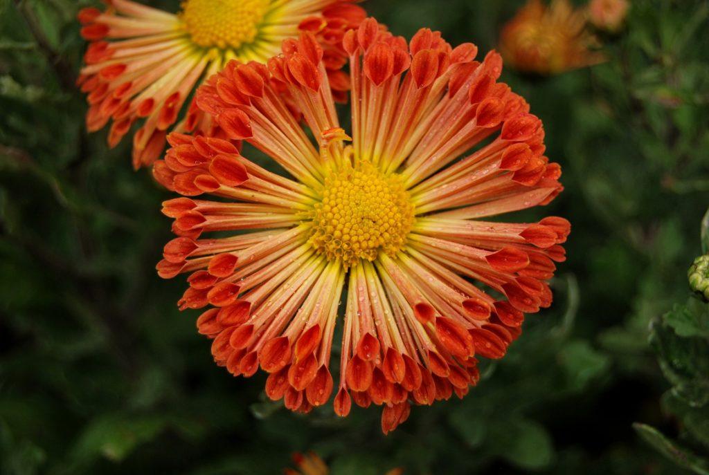 花, 菊花, 花瓣, 雄蕊, 雌蕊, 关于, 1704241959