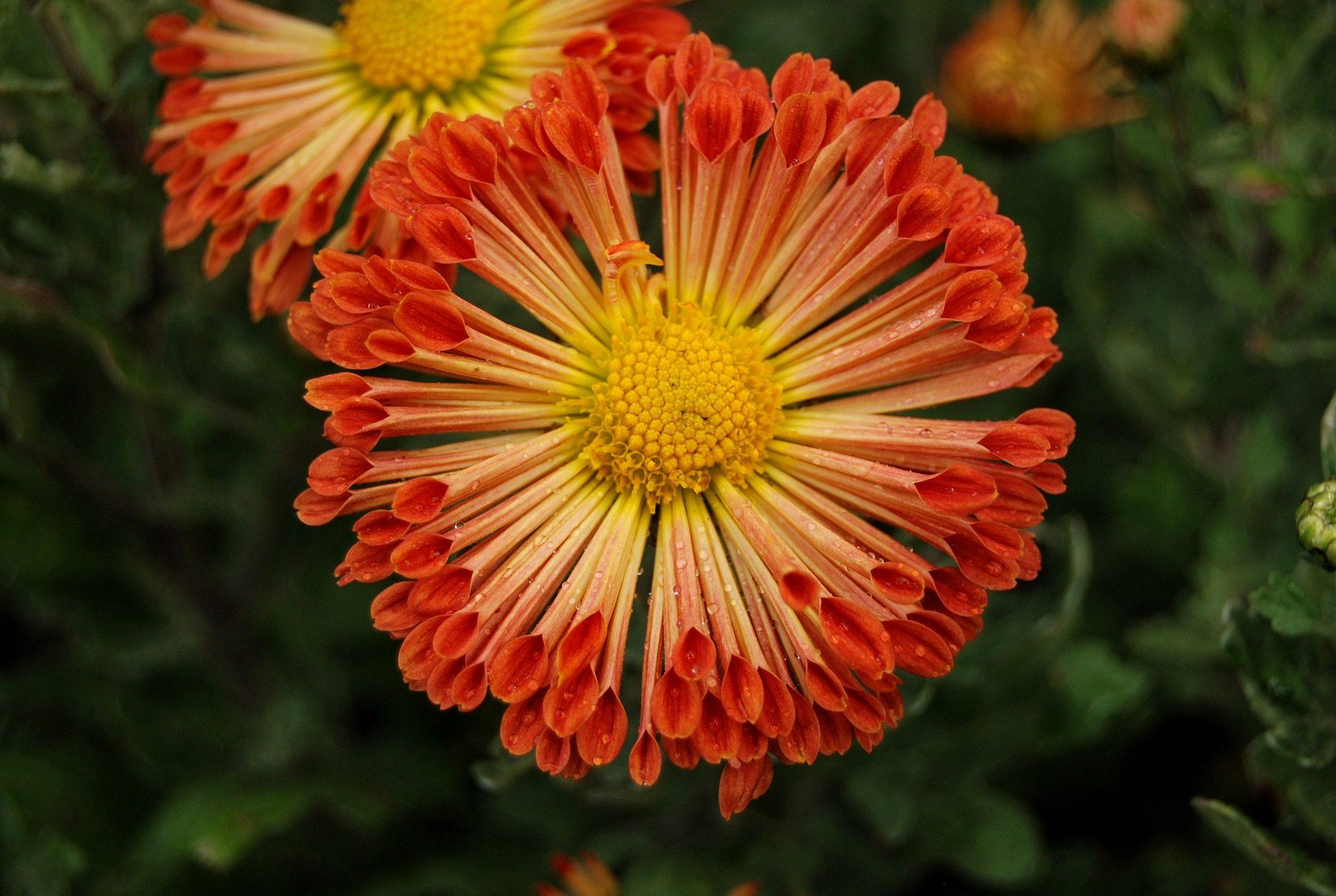 Blume, Chrysantheme, Blütenblätter, Staubblätter, Stempel, über - Wallpaper HD - Prof.-falken.com