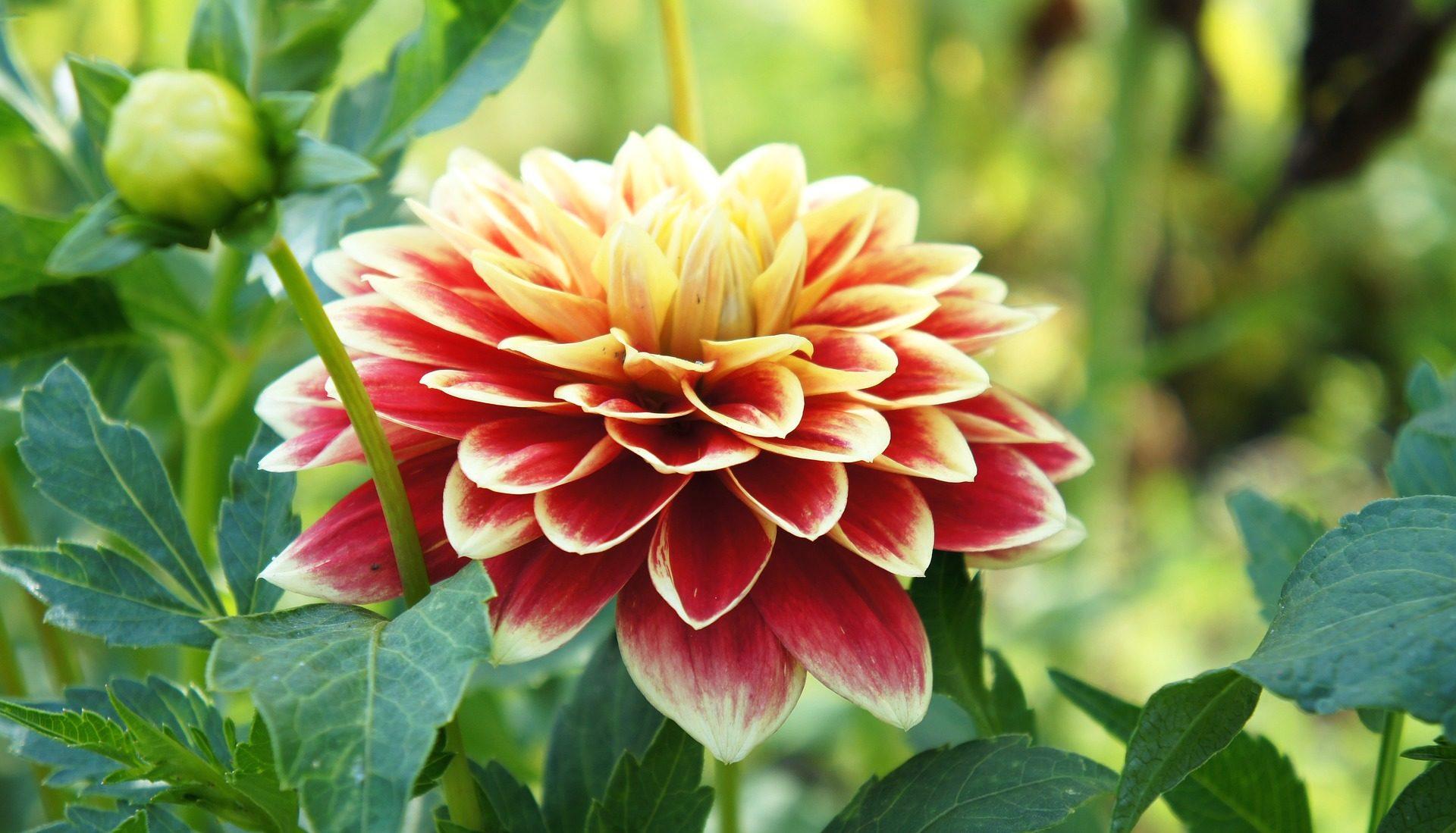 flor, dalia, planta, pétalos, colorida, belleza - Fondos de Pantalla HD - professor-falken.com